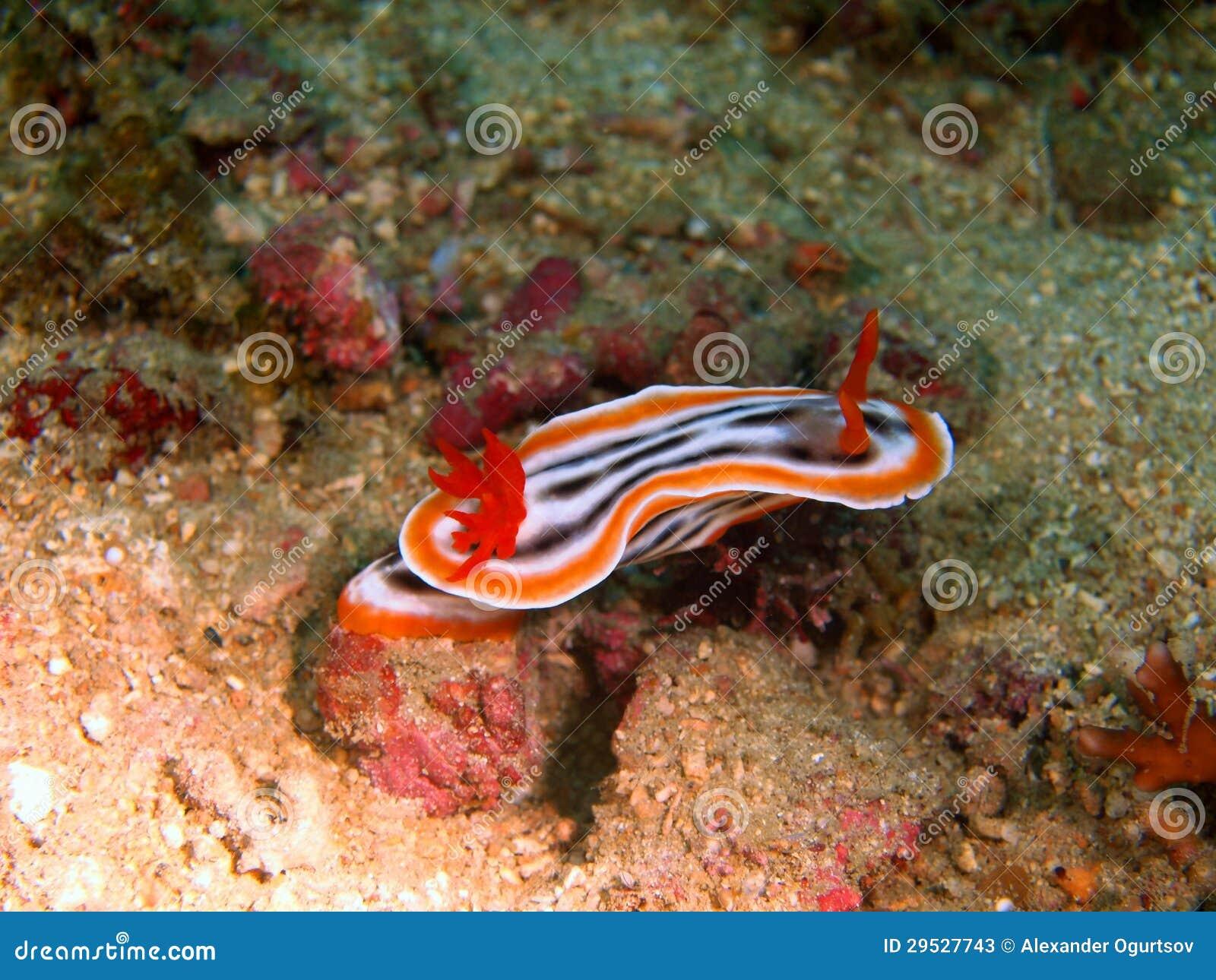 Slugs de mar do mar filipino