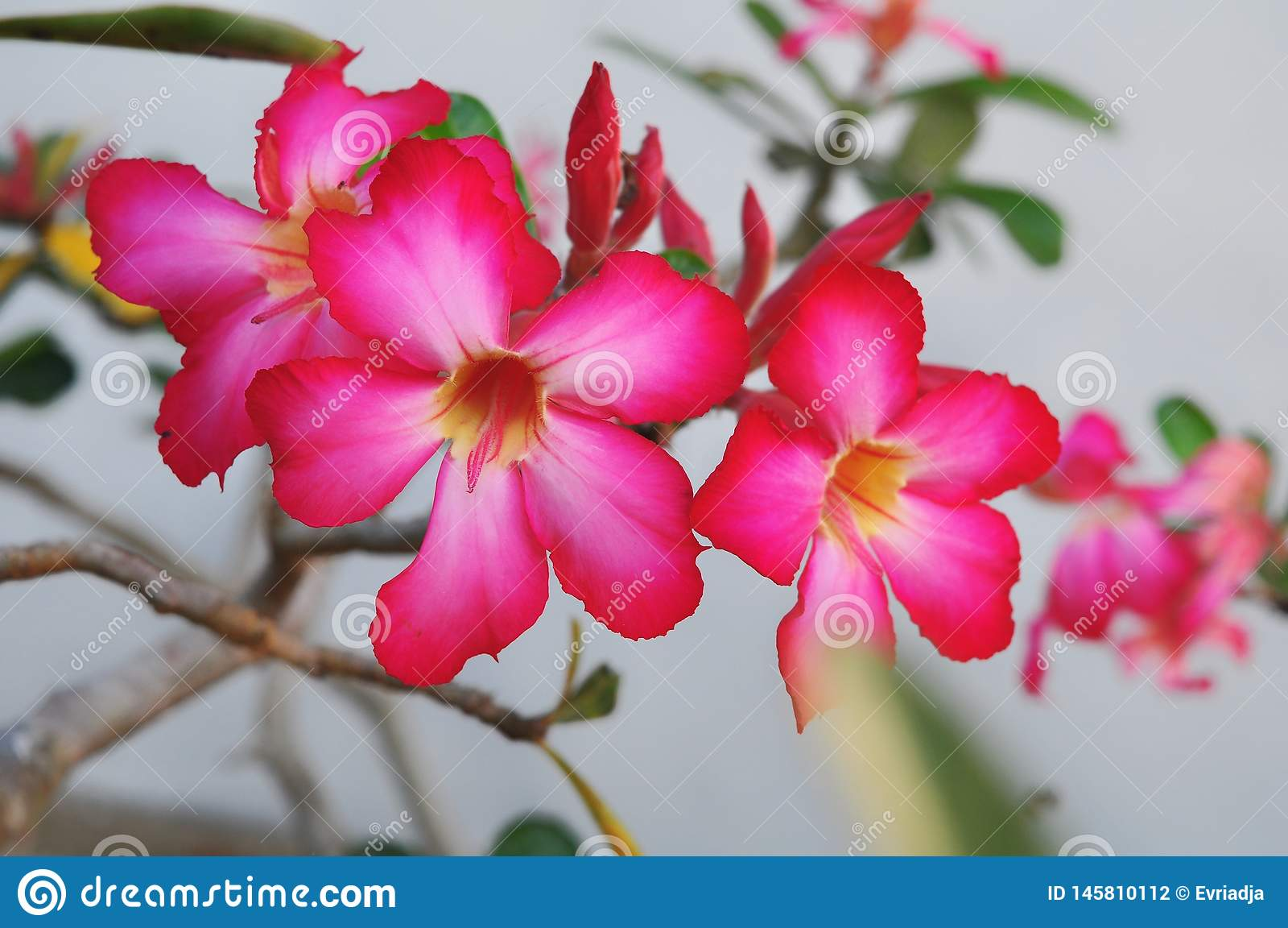 Sluit Adenium-omhoog bloemen in aard