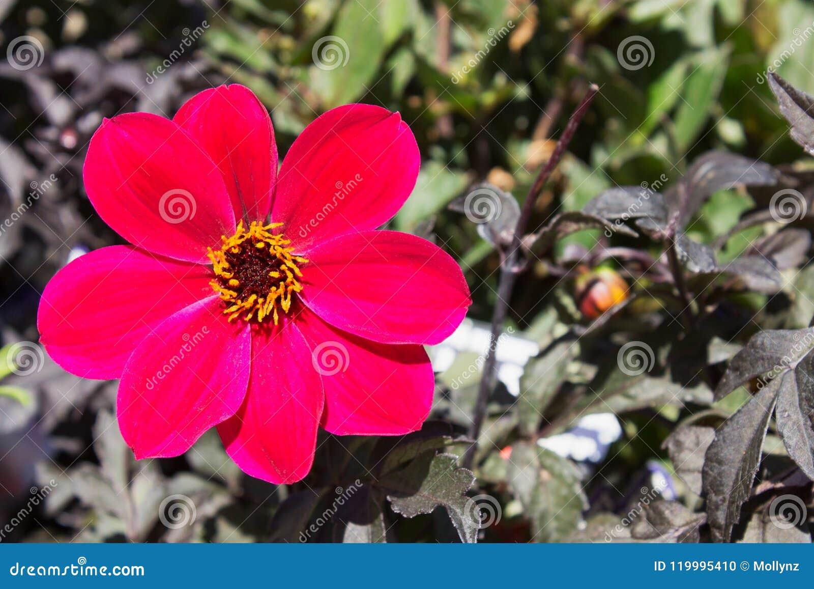 Sluit beeld van enig cerise omhoog Dahlia Mystic Allure Flower