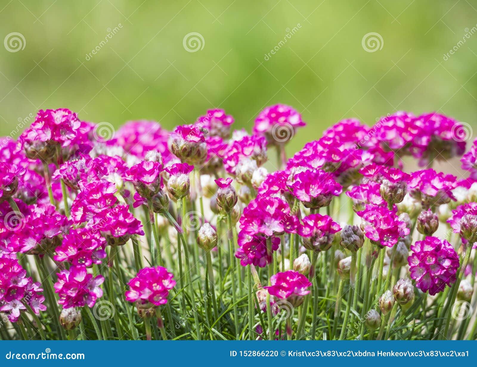 Sluit macro van bos van roze die het bloeien Armeria maritima, omhoog algemeen als zuinigheid, overzeese zuinigheid of overzees r