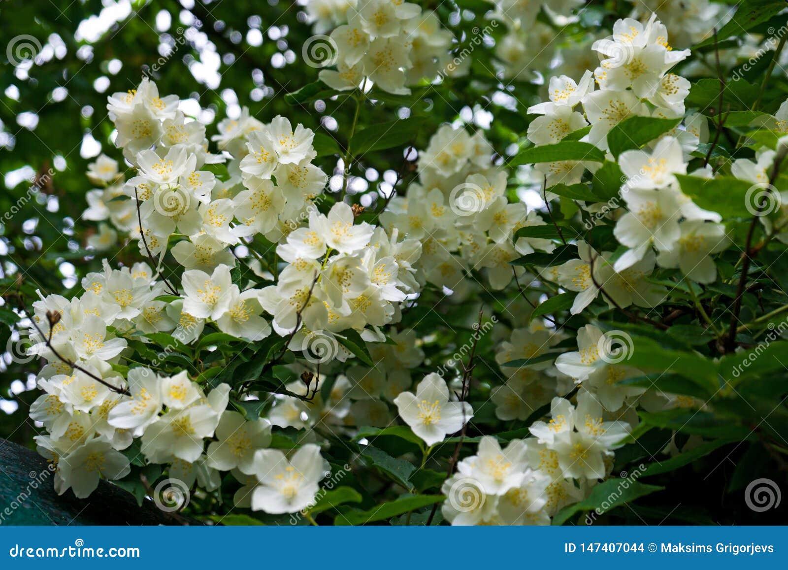 Sluit omhoog bloeiende jasmijnbloem op struik in tuin, geselecteerde nadruk