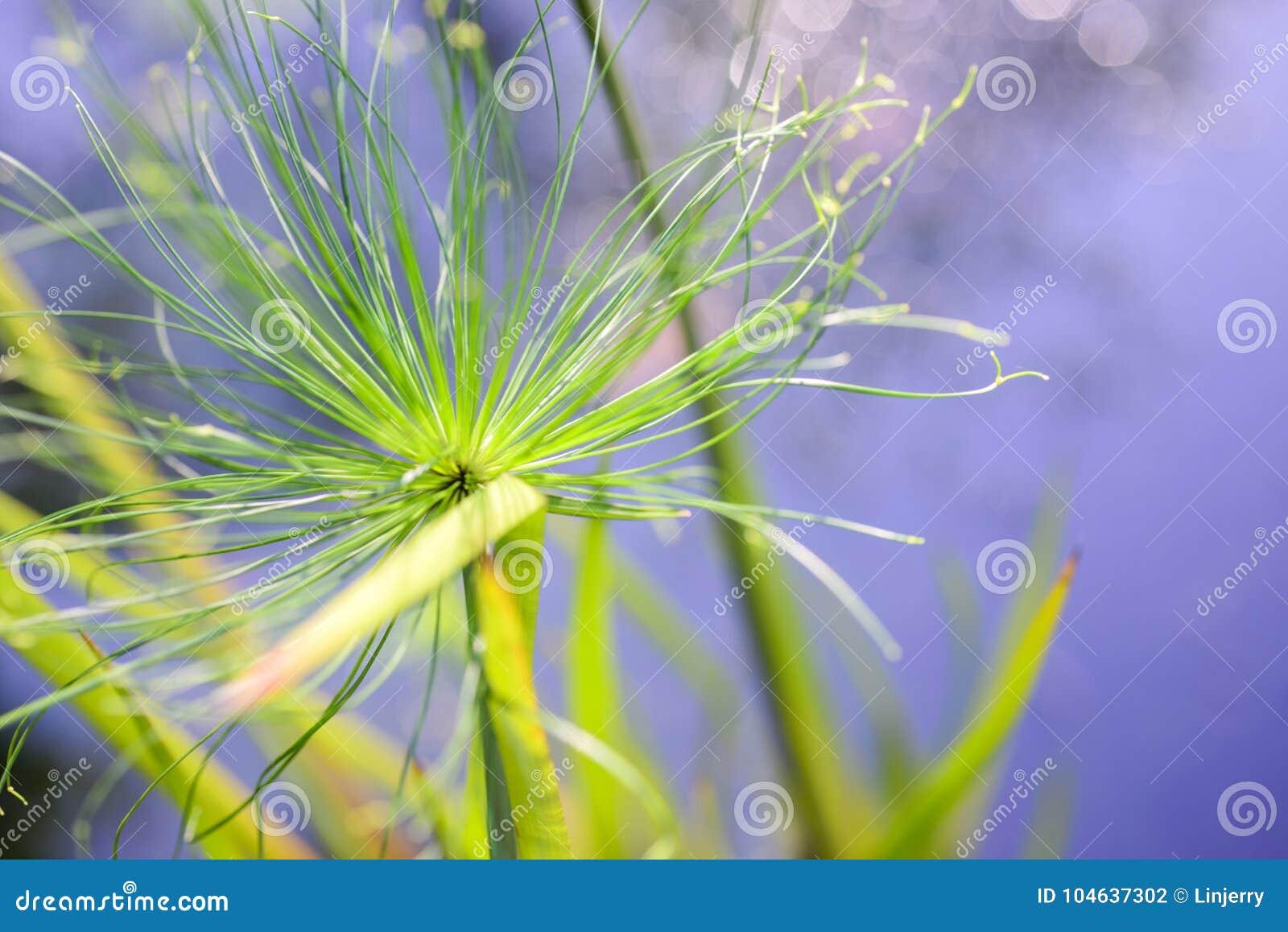 Download Sluit Omhoog De Groene Installatie Van De Meningspapyrus Als Achtergrondsamenvatting Stock Foto - Afbeelding bestaande uit lush, growth: 104637302