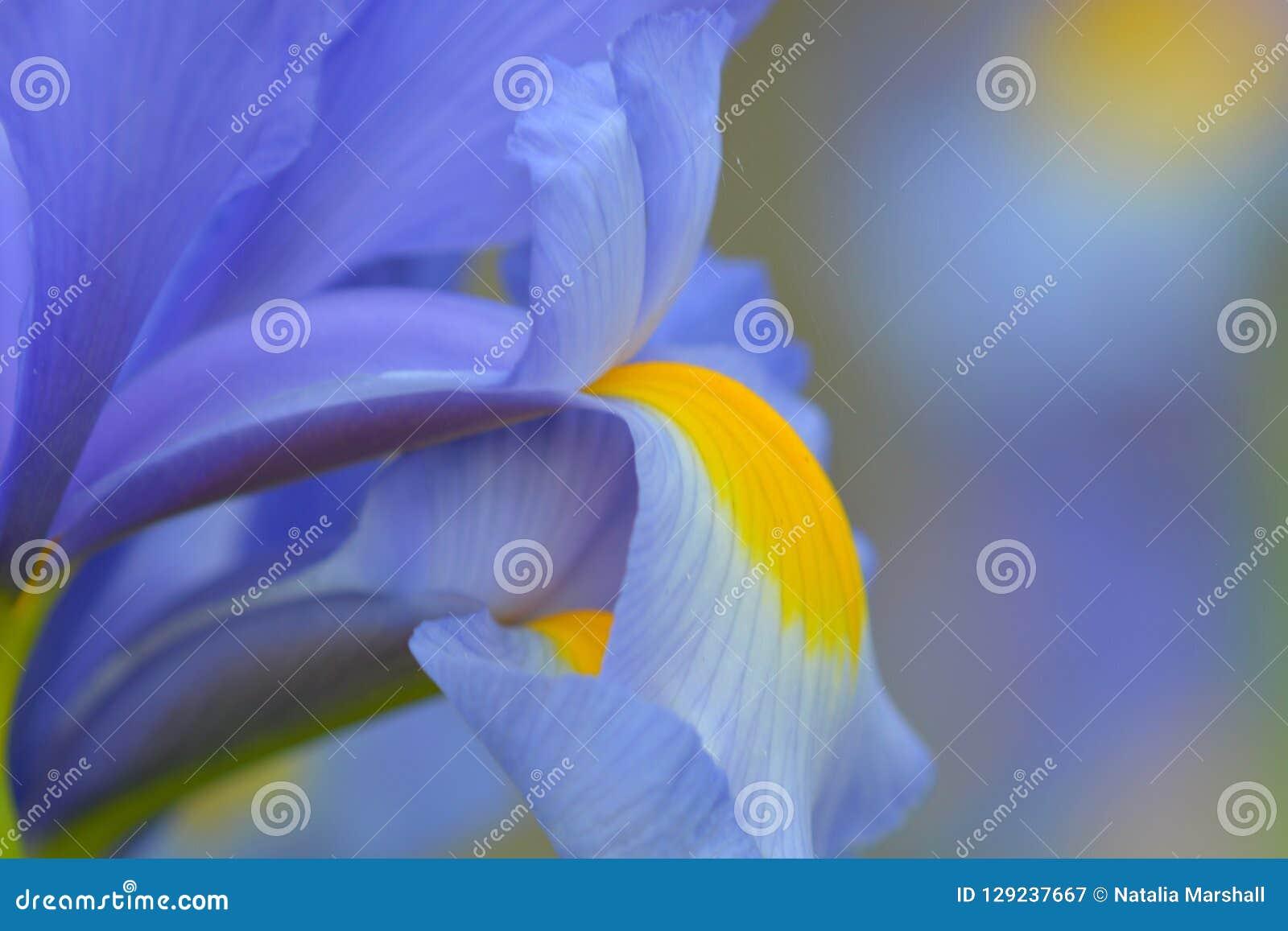 Sluit omhoog foto van een blauwe irisbloem
