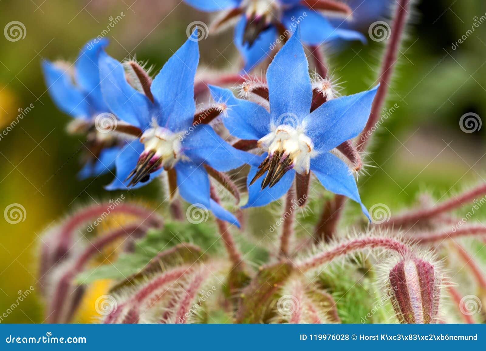 Sluit omhoog foto van wilde borage, Borago-officinalis, bloemen op een de lentegebied