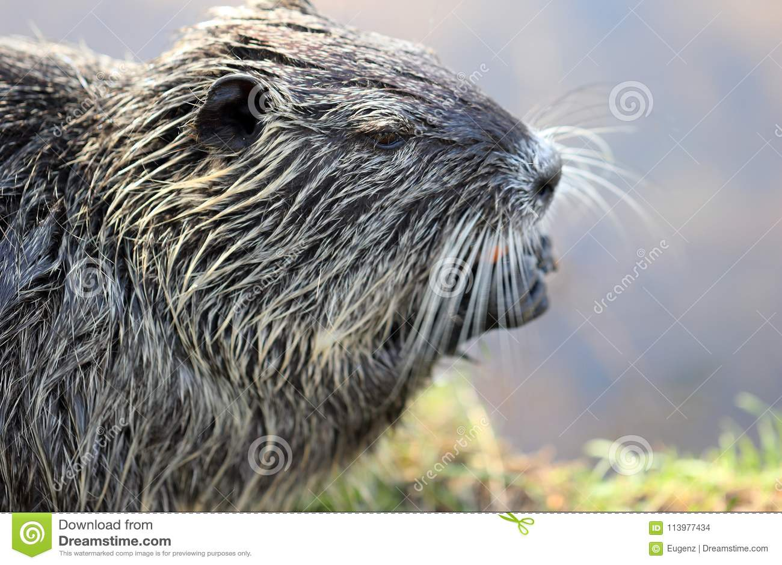 Sluit omhoog fotografie van een één enkele nutria of coypu terwijl het eten van een wortel bij een rivierbank op een heldere zonn