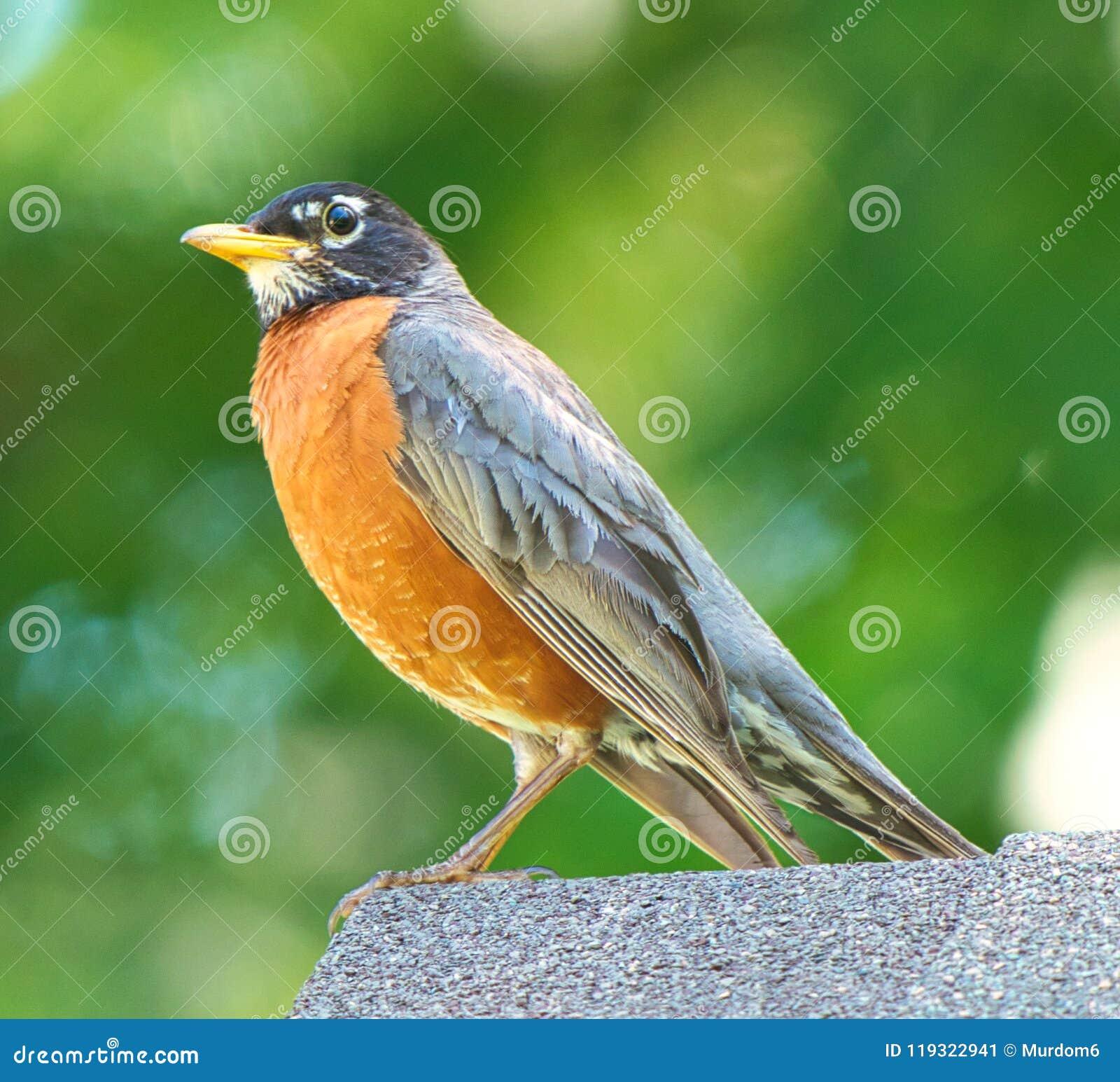 Sluit omhoog Gedetailleerde Mening van Amerikaanse Robin