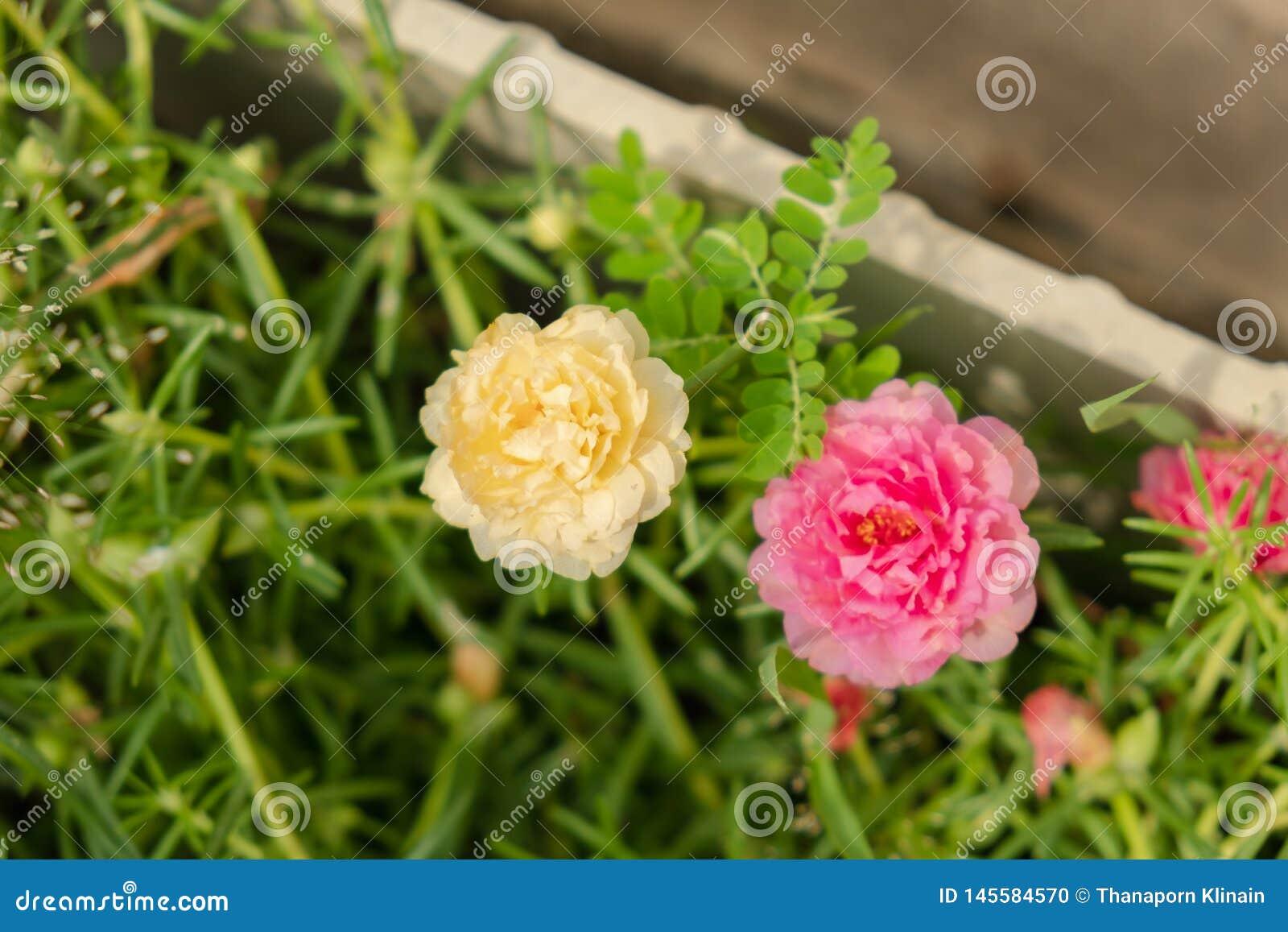 Sluit omhoog gele en roze portulacabloem