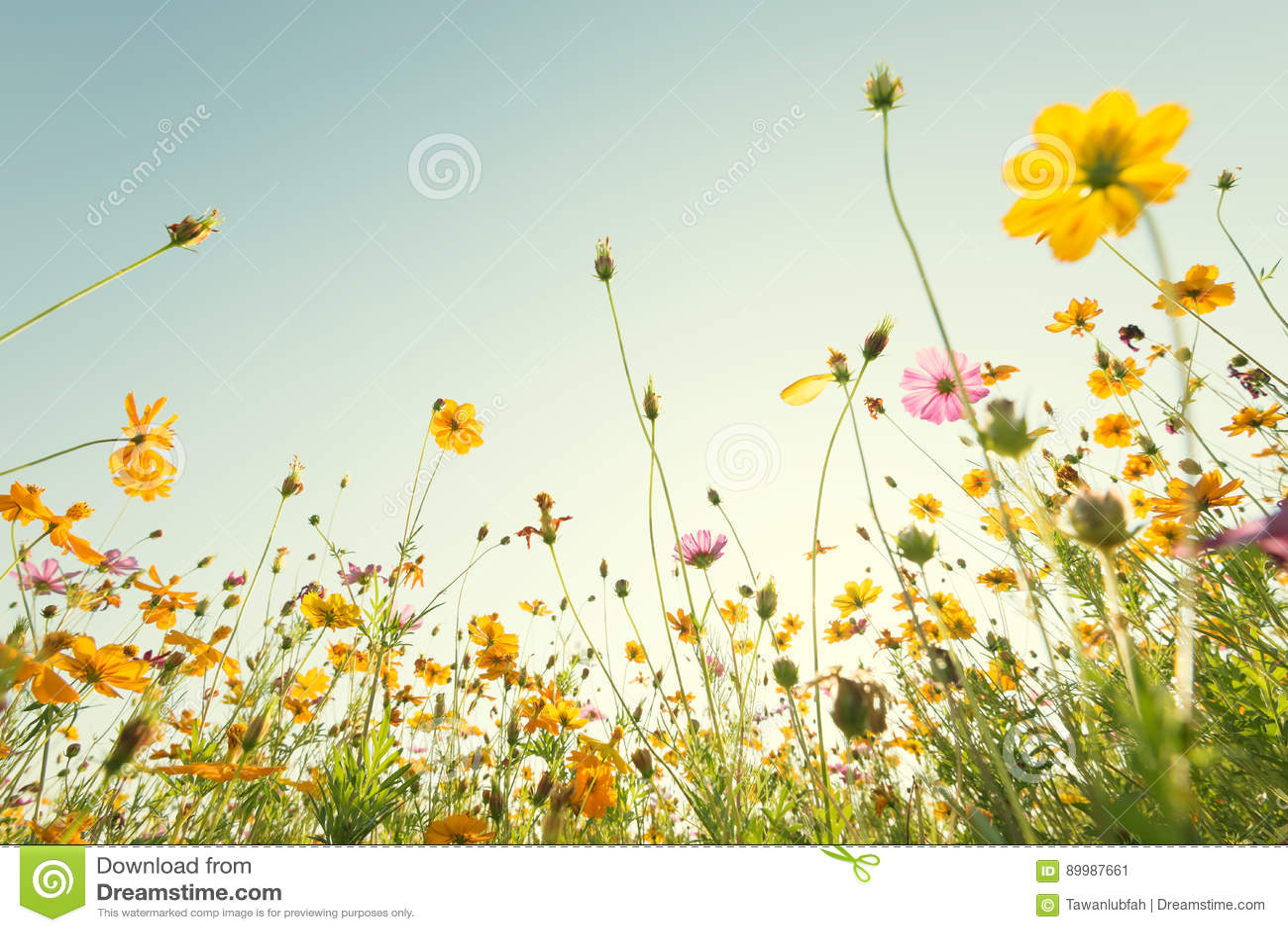 Sluit omhoog gele kosmosbloem op natuurlijke blauwe hemelachtergrond Fr