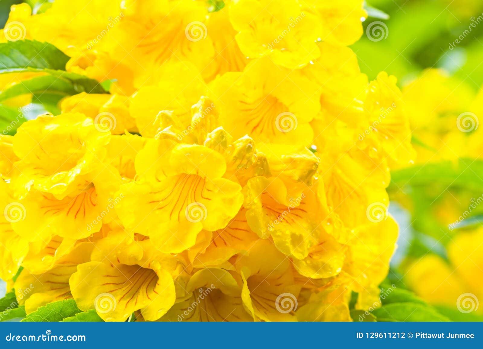 Sluit omhoog Gele oudere, Gele klokken, of Trumpetflower, Wetenschappelijke naam is Tecoma stans