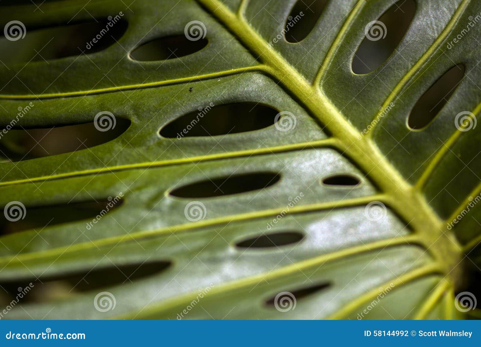 Sluit omhoog geschoten van Philodendron
