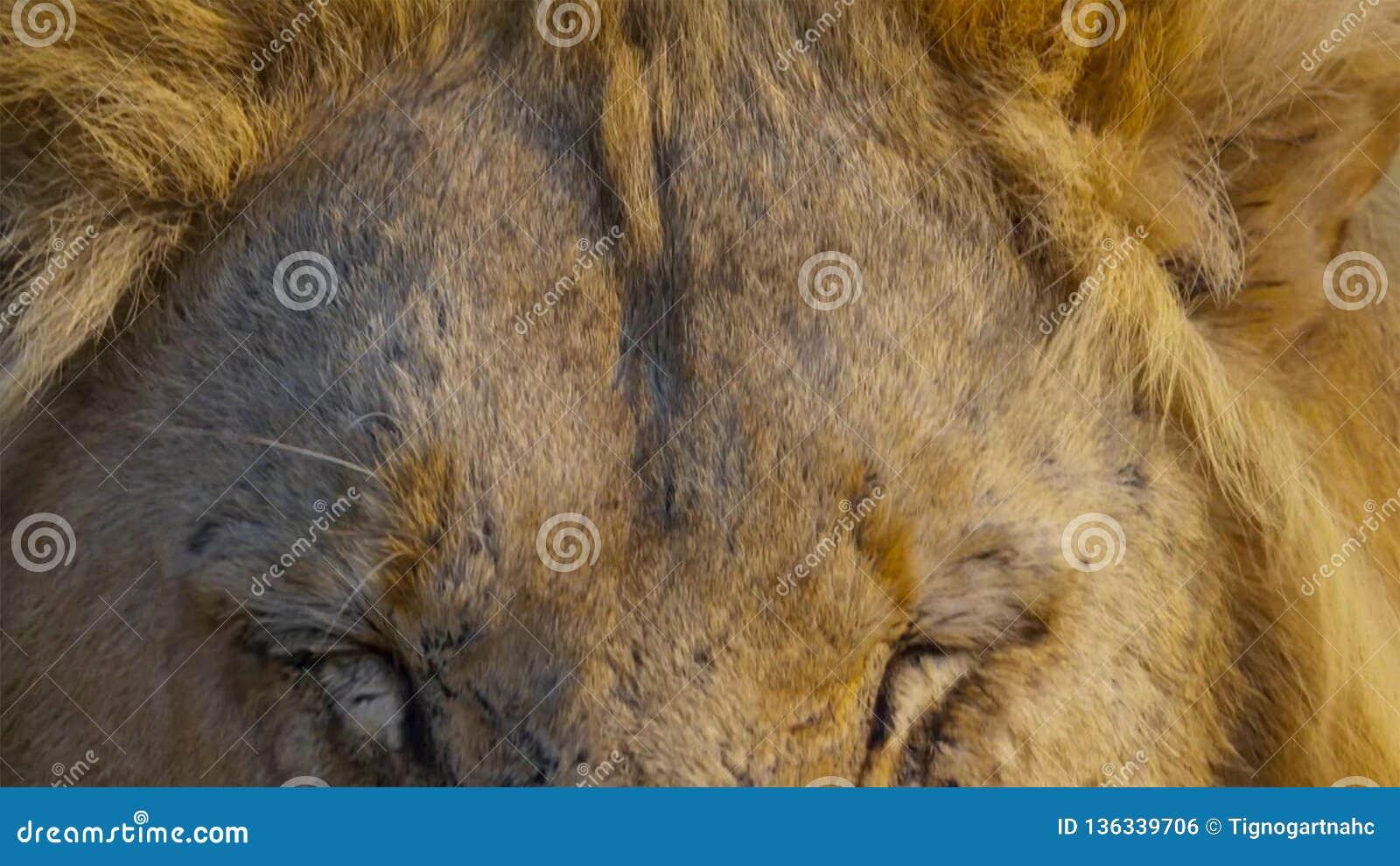 Sluit omhoog gezicht van wilde Afrikaanse mannelijke leeuw, Savanne, Afrika