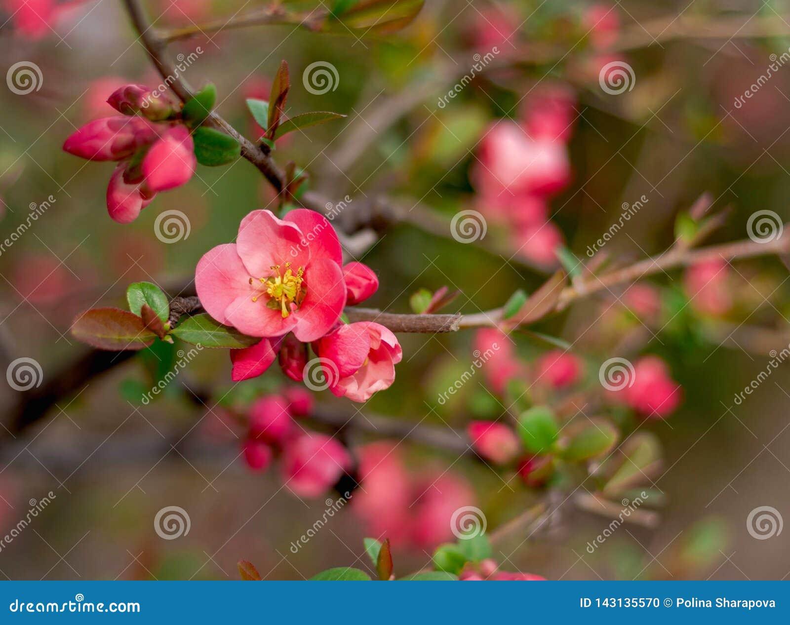 Sluit omhoog heldere mooie eerste roze bloeiende bloemen
