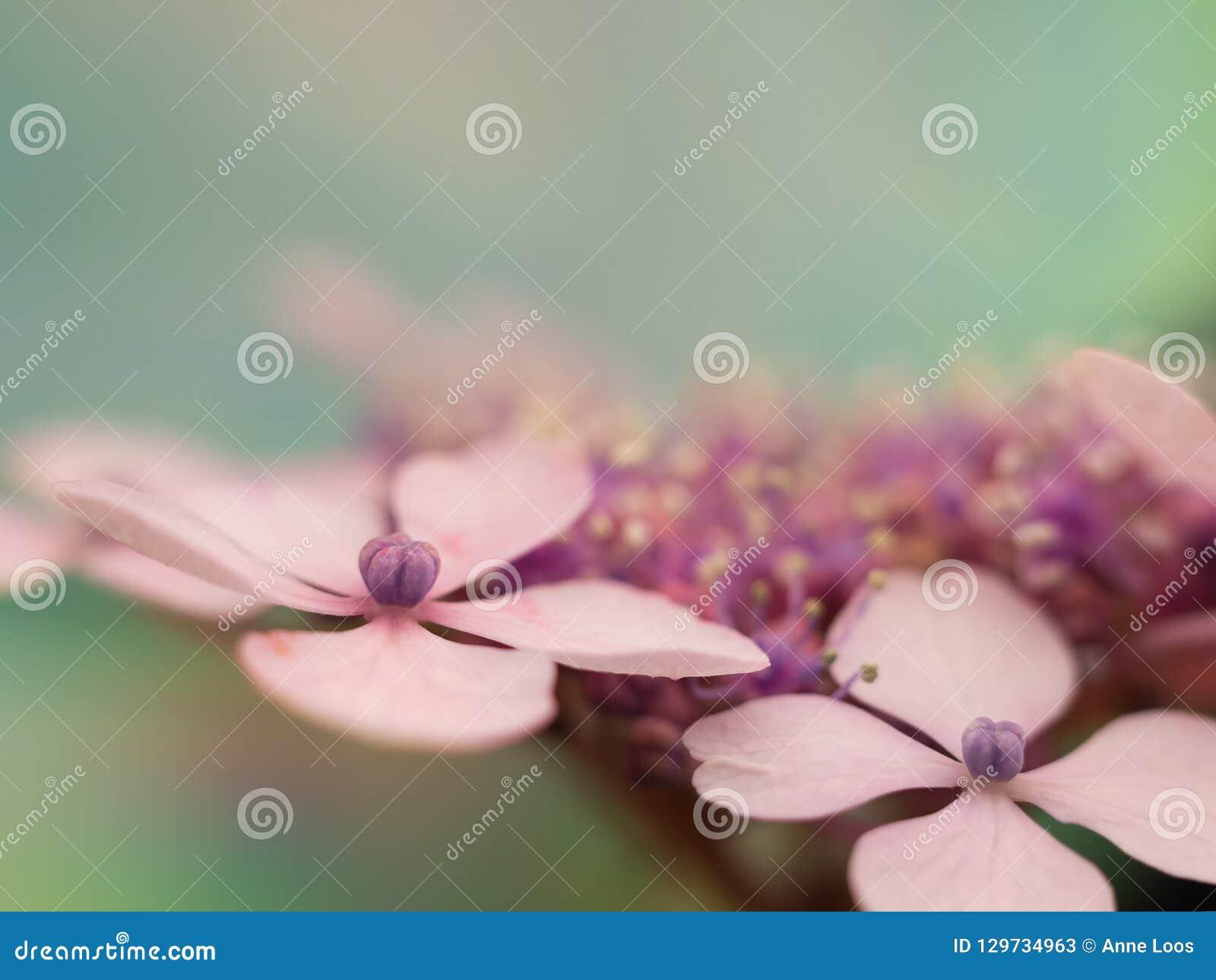 Sluit omhoog het bloemblaadje van de hortensiabloem
