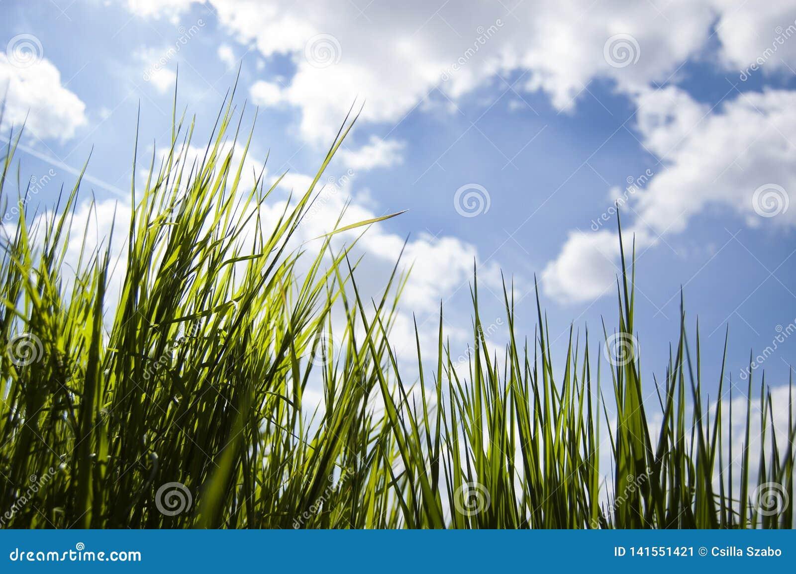 Sluit omhoog, macro van dauwdalingen op bladen van vers gras, ochtendstralen van zon, waterbesparing en groen concept, sparen vag