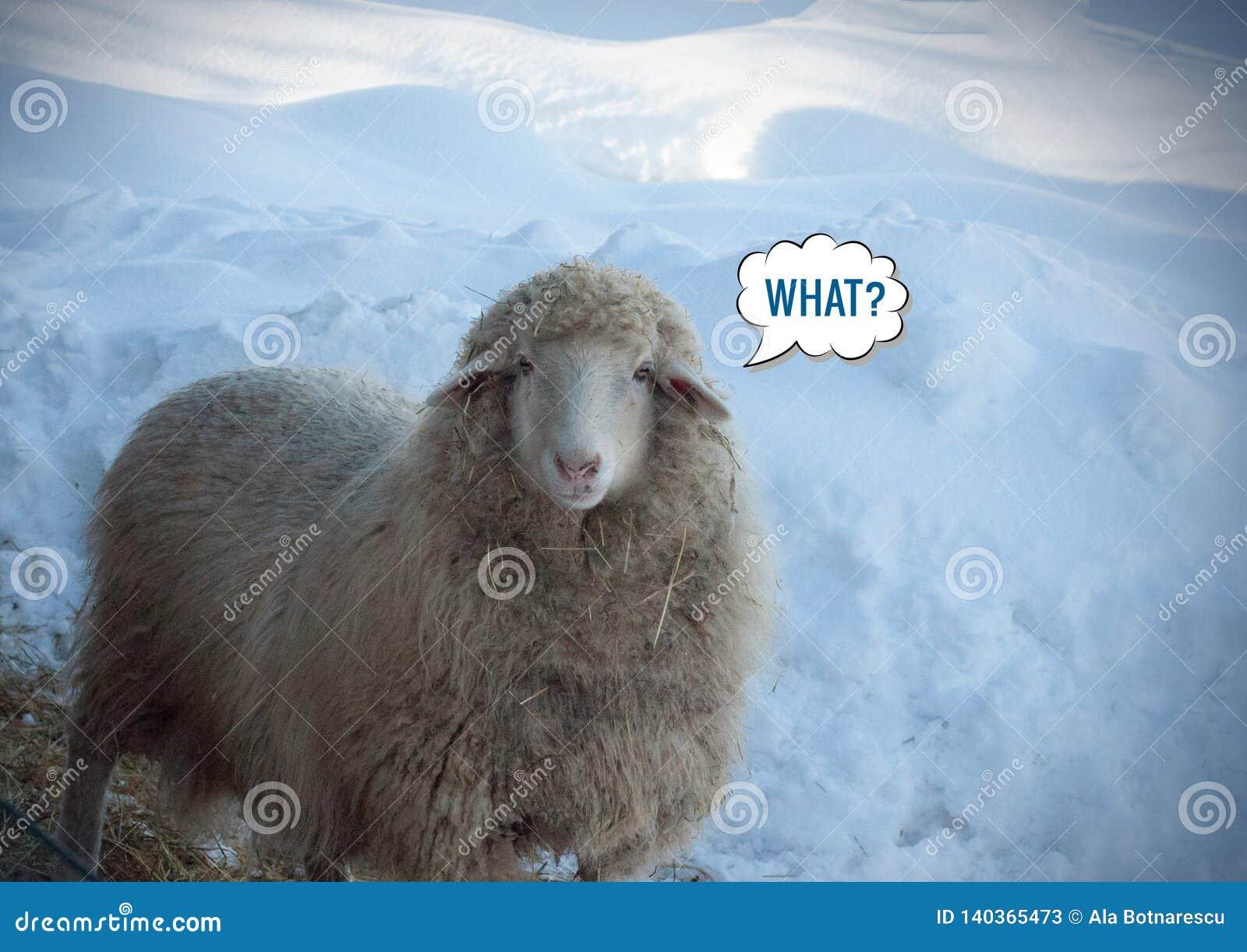 Sluit omhoog mening van een het kijken schaap in de winterdag Kijkend koele schapen en 'wat? 'bericht meme