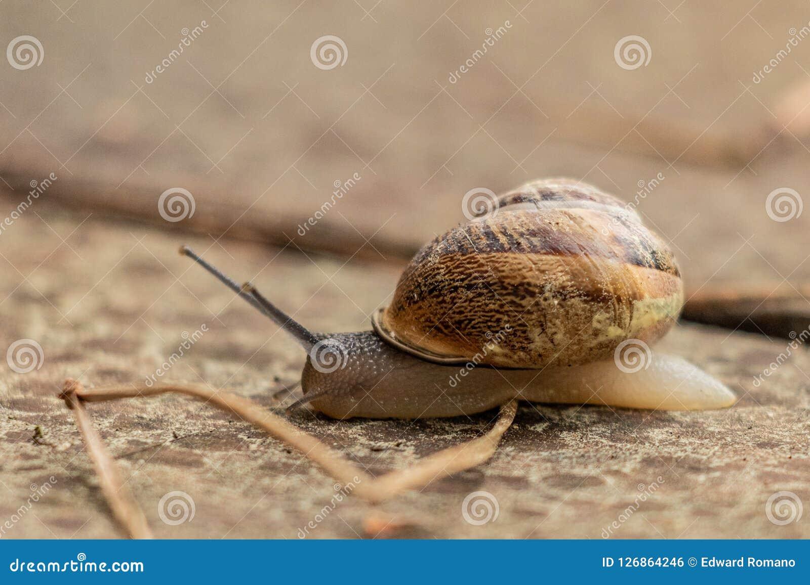 Sluit omhoog mening van een leuke tuinslak, langzaam komend uit zijn shell Mooi, bruin, fibonacci, spiraal, schroefpatroon