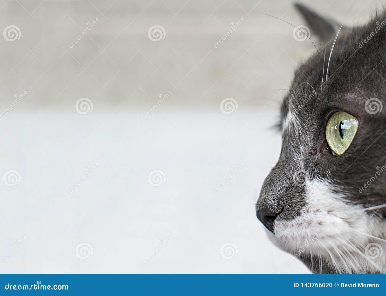 Sluit omhoog mening van mooie groene cat& x27; s oog Grijze en witte kat op witte achtergrond Mooi geweven bont Macro