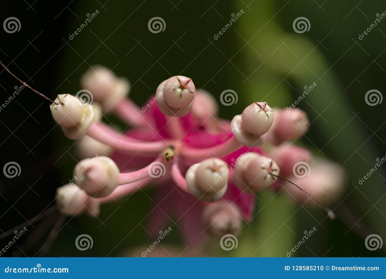 Sluit omhoog mening van purpere Grevillea-Bloemen in detail