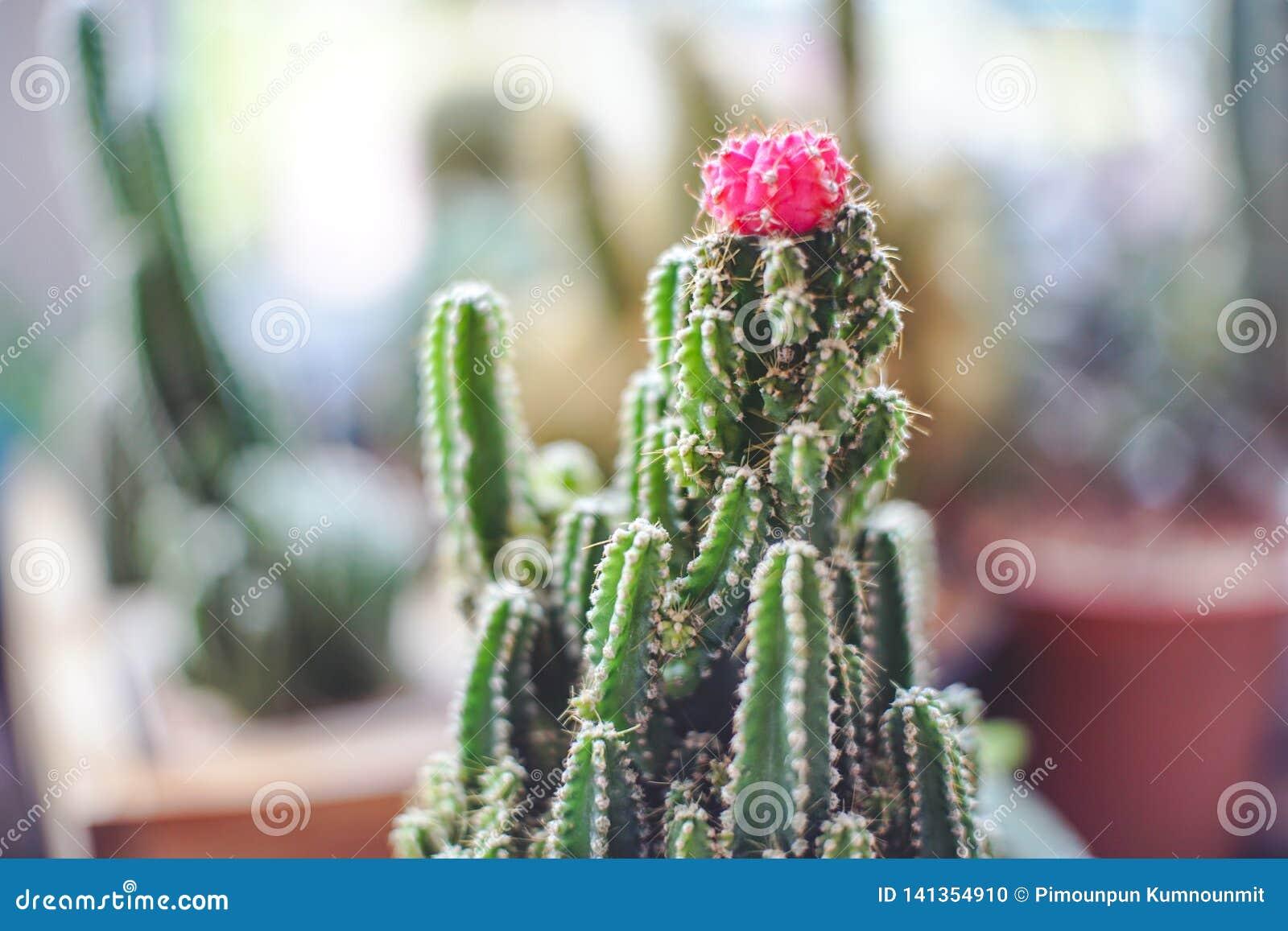 Sluit omhoog miniruby ball cactus moon cactus met vage achtergrond