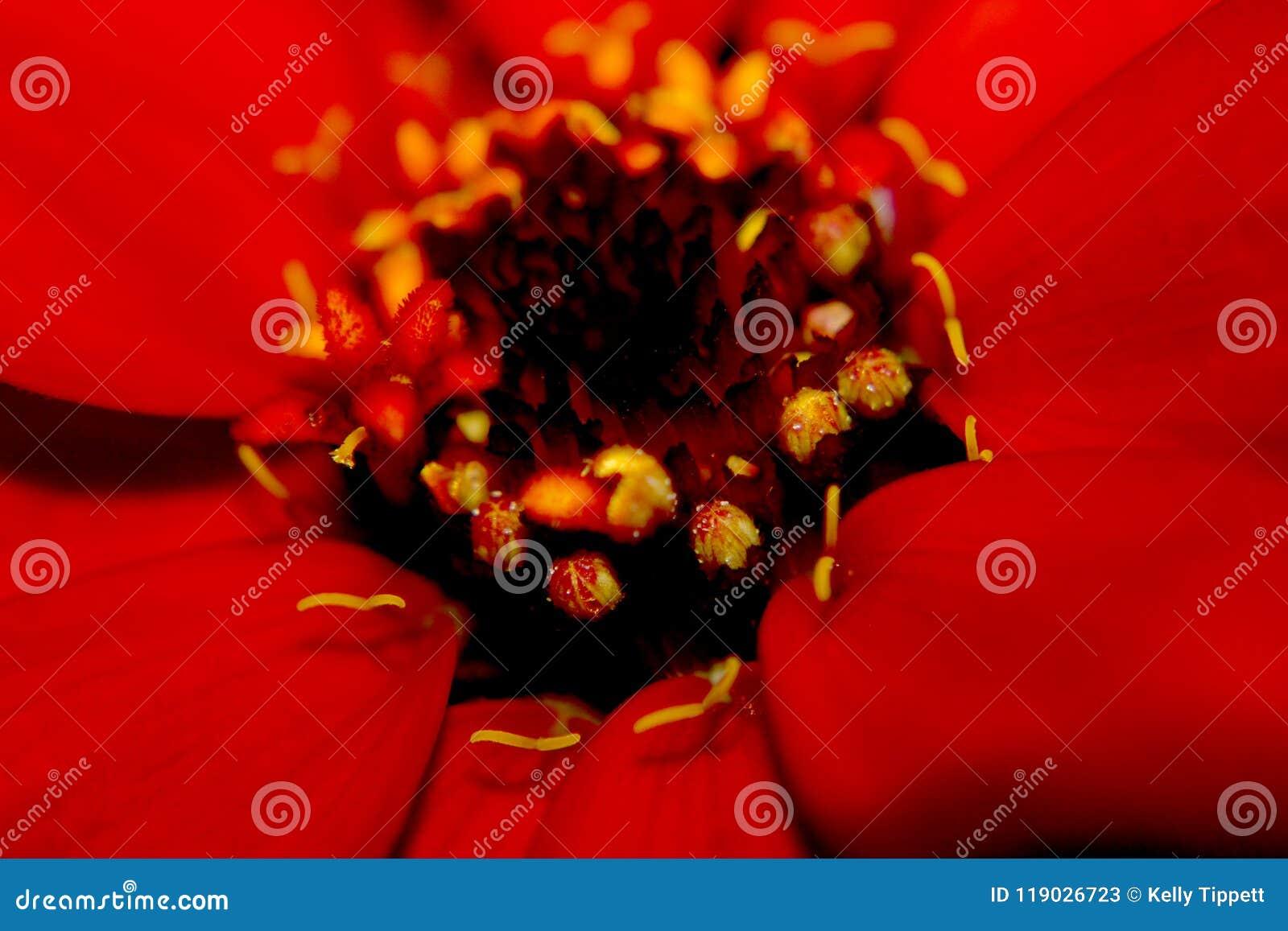 Sluit omhoog op de bloem van Zinnia in de Mississippi Juni
