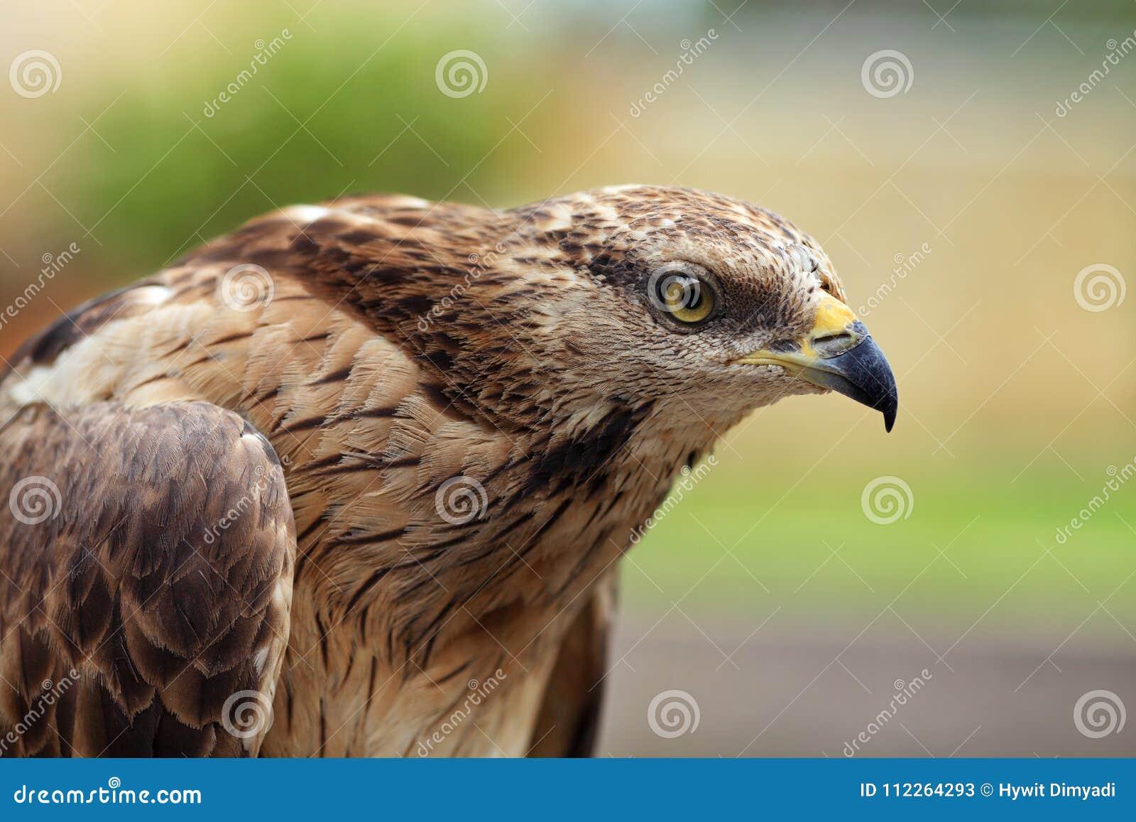 Sluit omhoog portret van een Eagle-havik