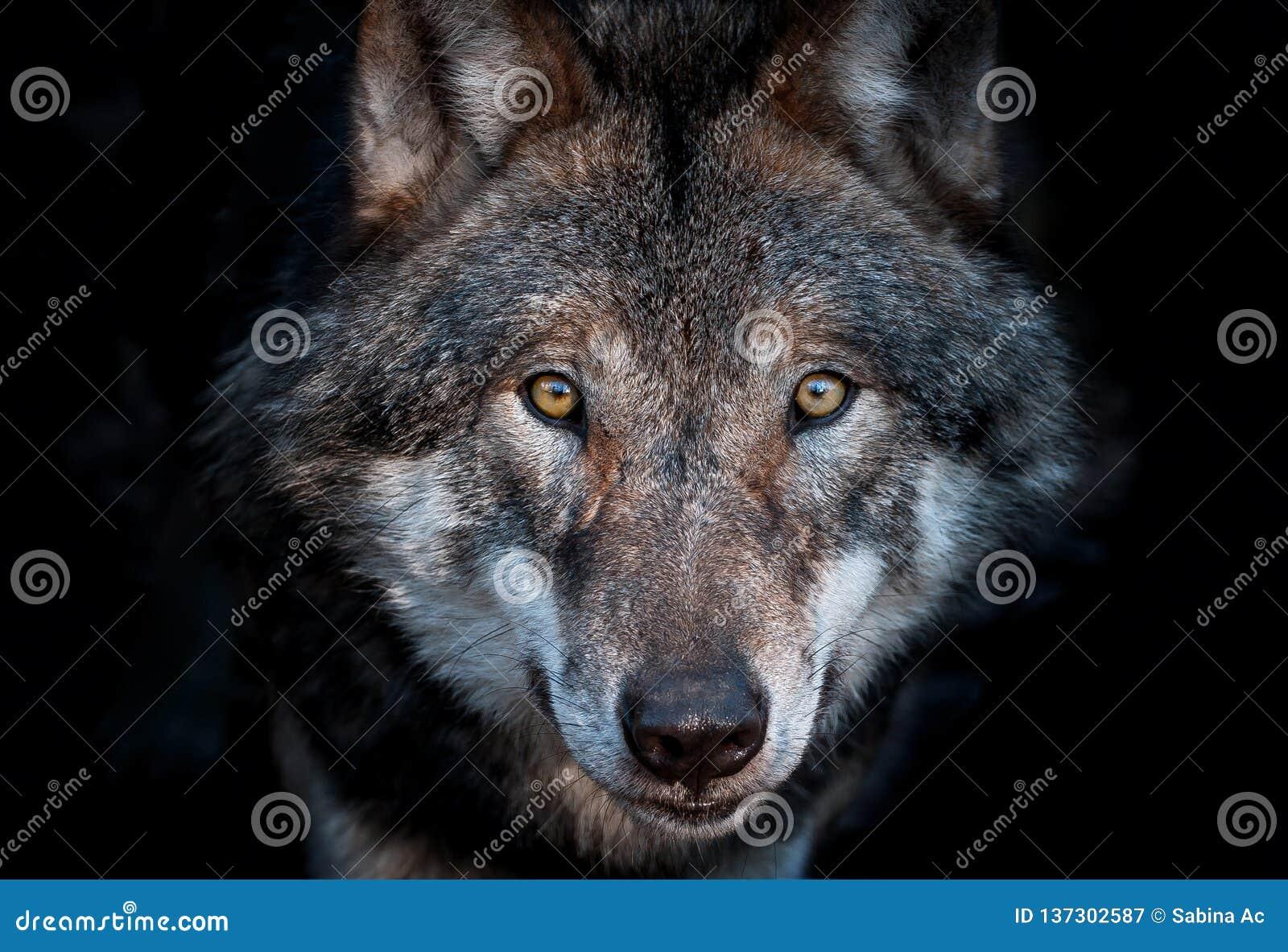 sluit omhoog portret een europese grijze wolf stock