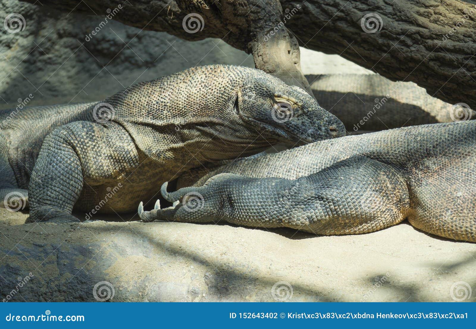 Sluit omhoog portret van Komodo-Draak het liggende anf rusten Varanuskomodoensis als de Komodo-monitor ook wordt bekend die, is g
