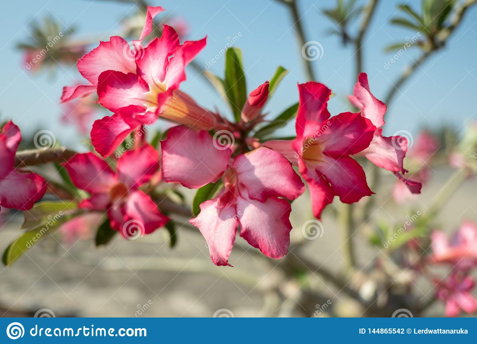 Sluit omhoog roze bloemen met sunsets