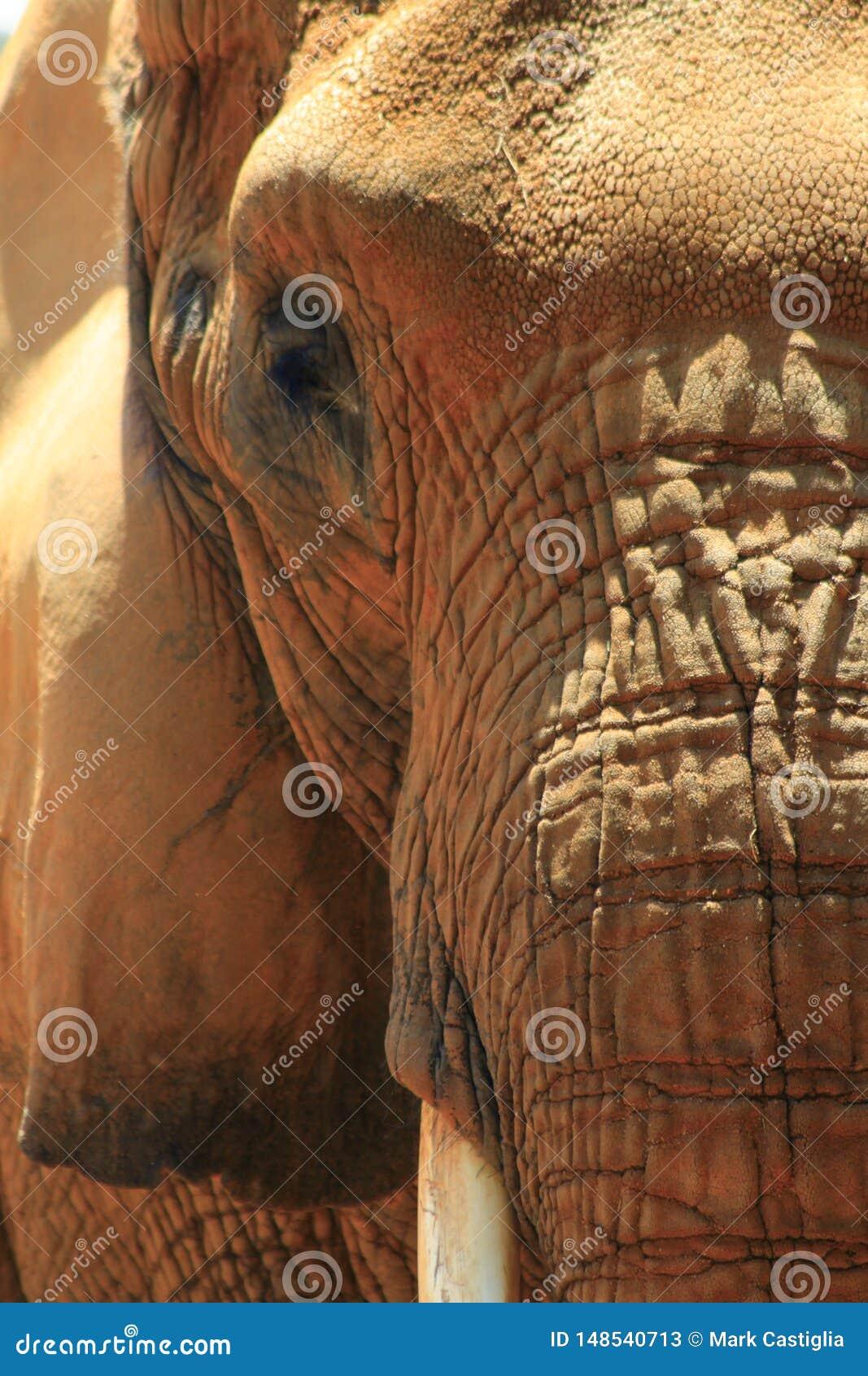 Sluit omhoog van Afrikaans olifantsgezicht in zonlicht