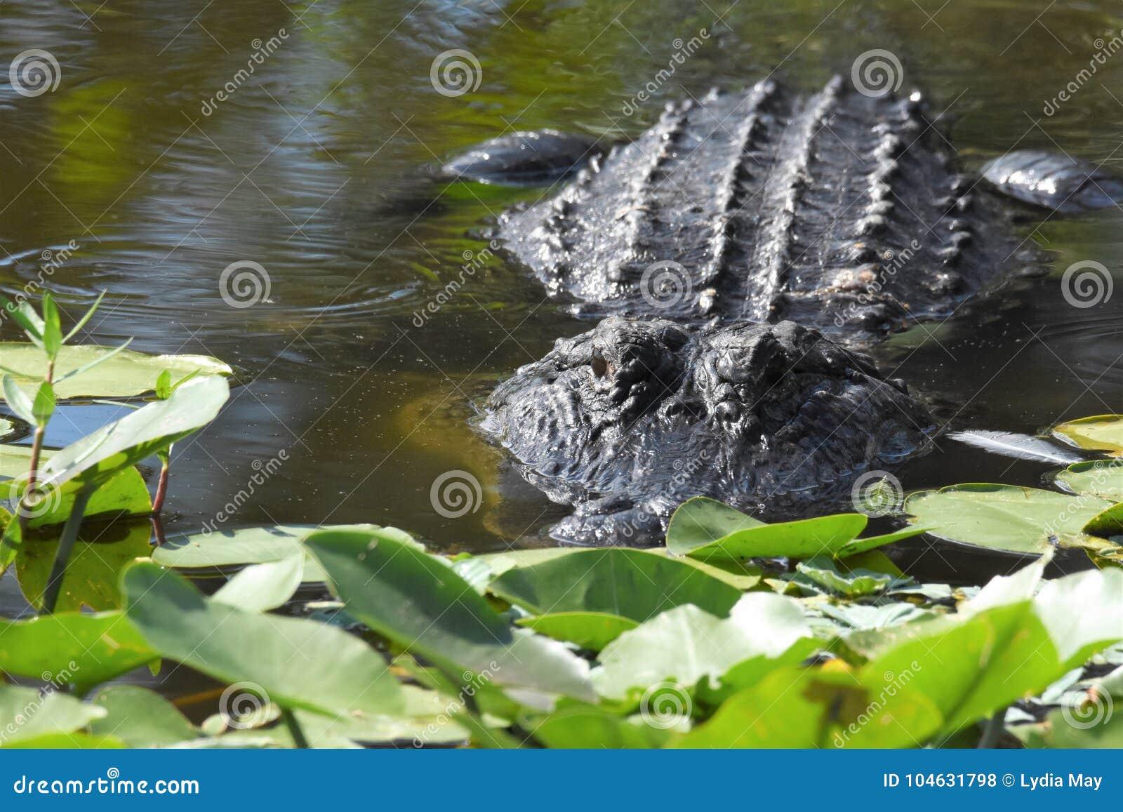 Download Sluit Omhoog Van Alligator In Het Moerasland Stock Foto - Afbeelding bestaande uit behandeld, moerasland: 104631798