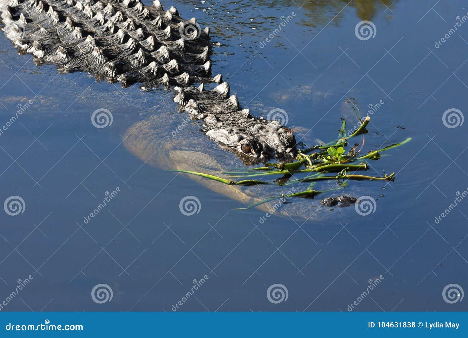 Download Sluit Omhoog Van Alligator In Het Moerasland Stock Foto - Afbeelding bestaande uit lengte, staart: 104631838