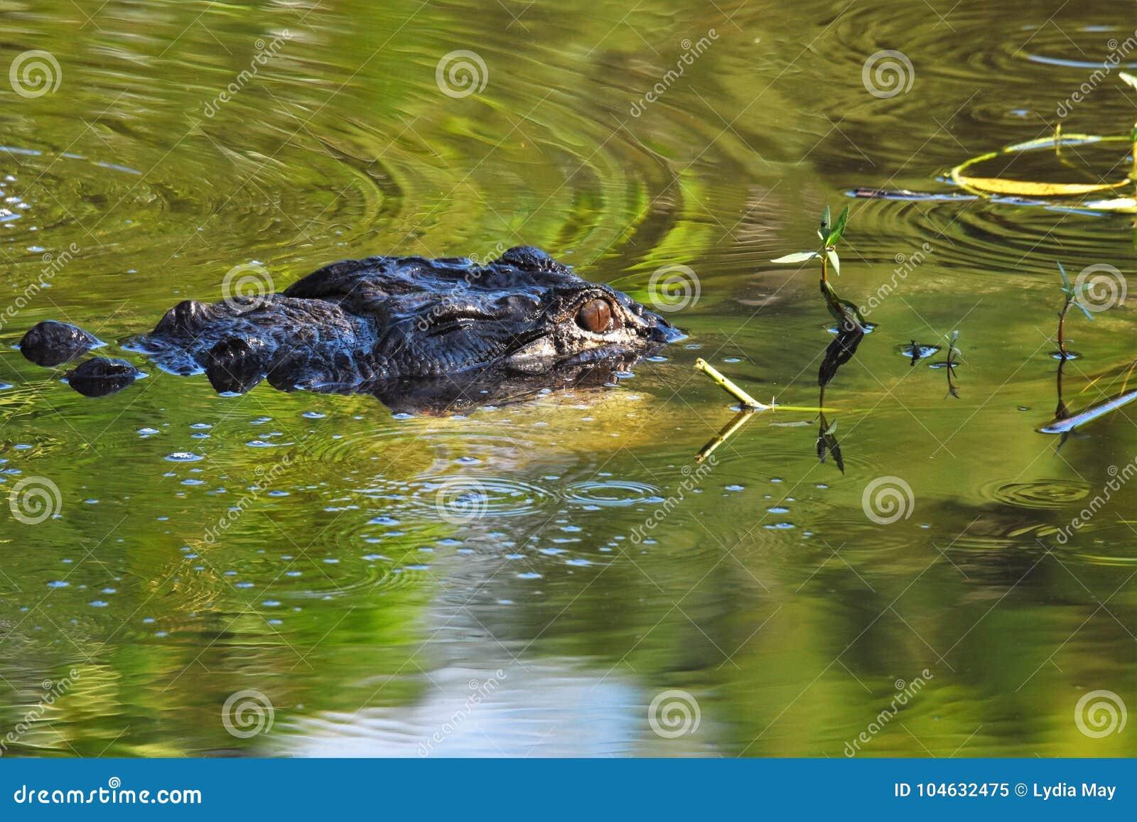 Download Sluit Omhoog Van Alligator In Het Moerasland Stock Afbeelding - Afbeelding bestaande uit schalen, moerasland: 104632475
