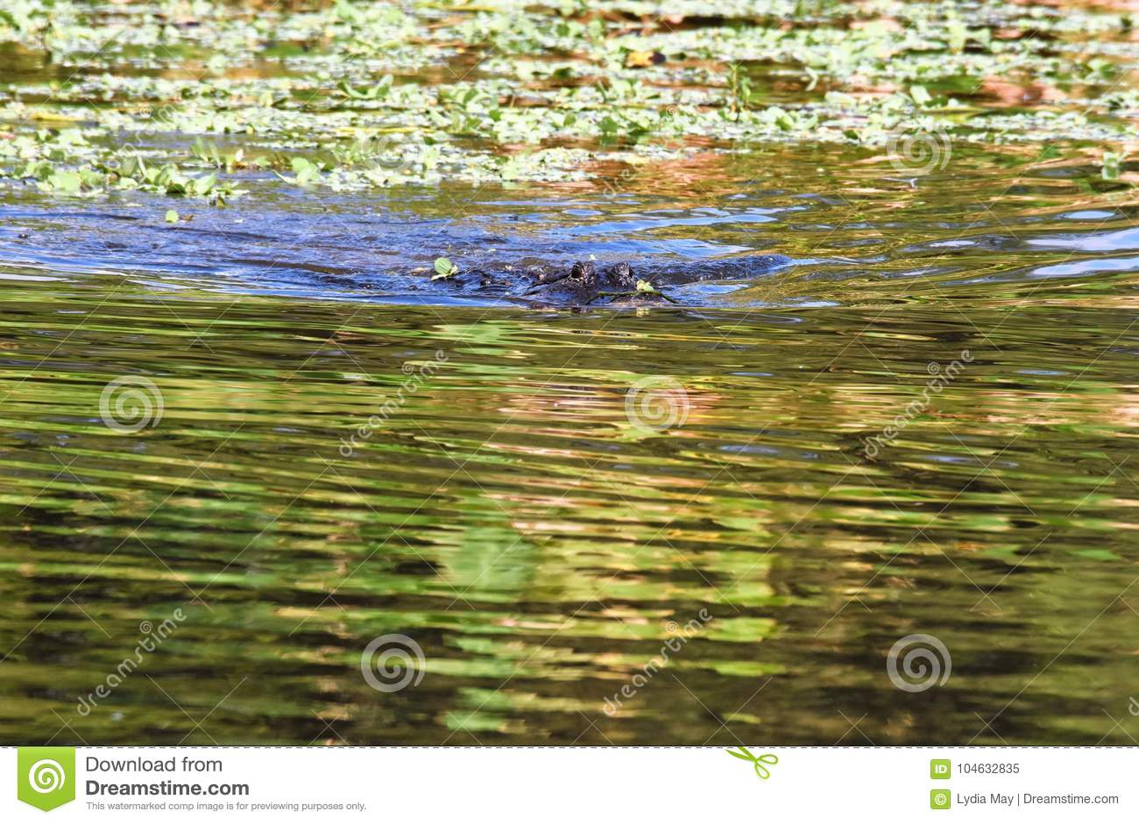 Download Sluit Omhoog Van Alligator In Het Moerasland Stock Afbeelding - Afbeelding bestaande uit installaties, florida: 104632835