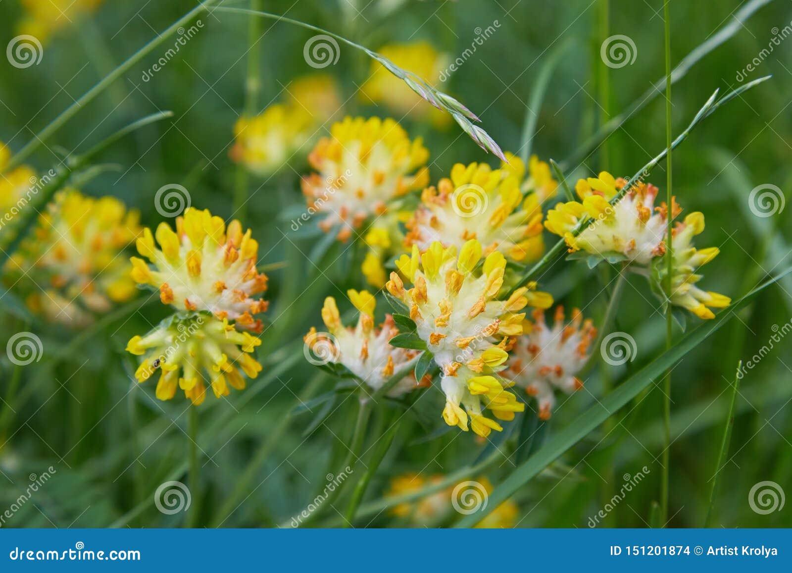 Sluit omhoog van Alpiene Nierwikke - Anthyllis-vulneraria