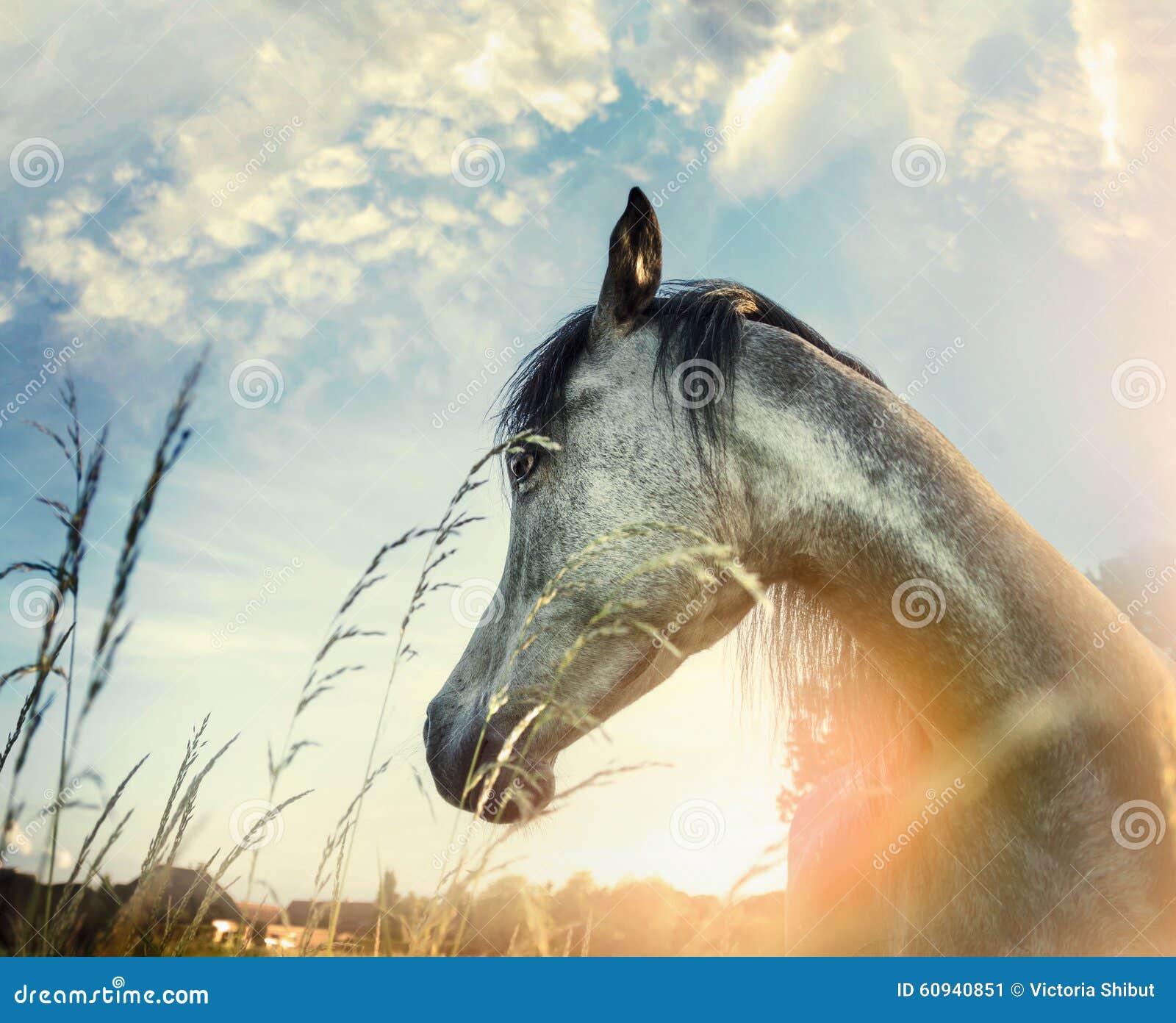 Sluit omhoog van Arabisch paardportret over de achtergrond van de zonsondergangaard