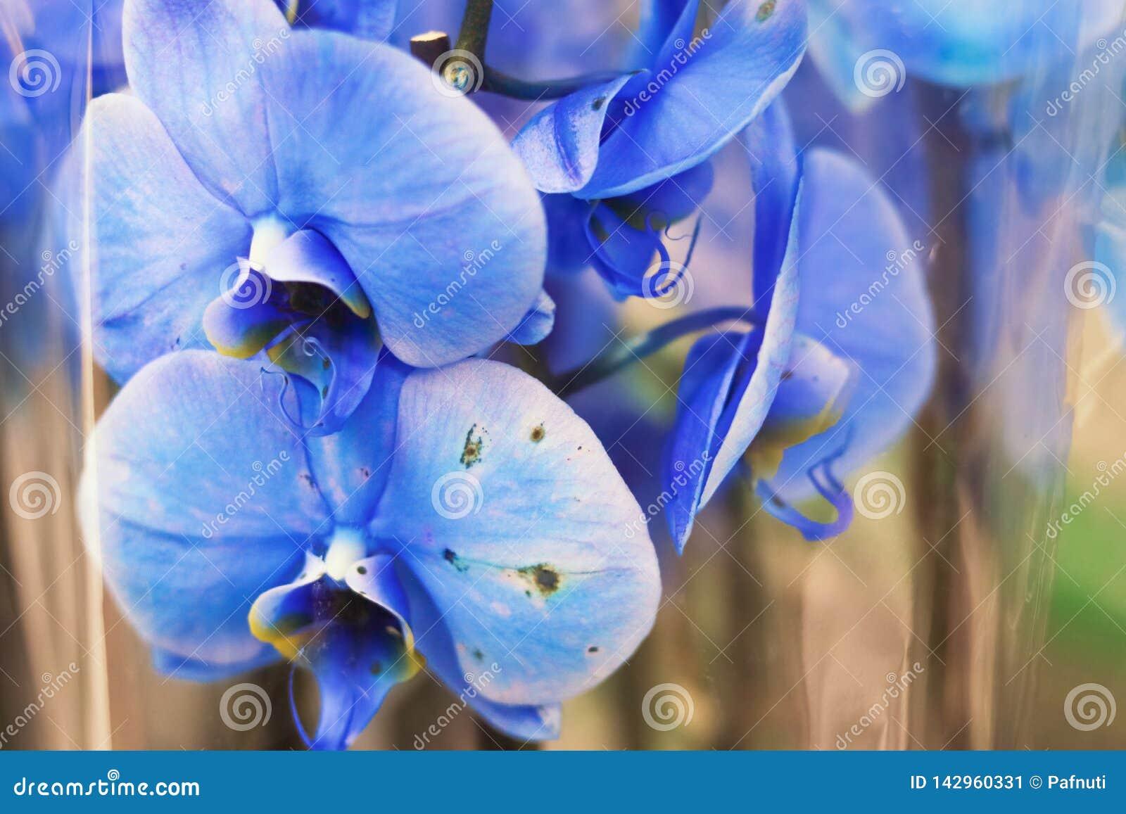 Sluit omhoog van bloemen van een de Blauwe Mottenorchideeën