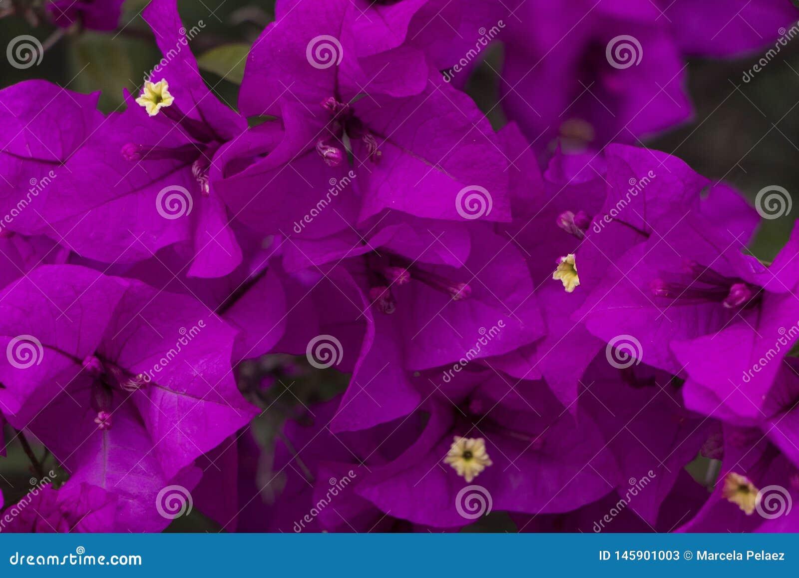 Sluit omhoog van de bloemen van Curazao of van bougainvillea met purpere bloemen met verse groene bladeren in de zomerlicht met r