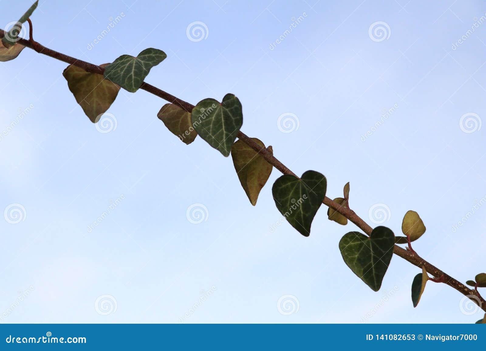 Sluit omhoog van de natuurlijke harten van de klimopinstallatie voor blauwe hemel