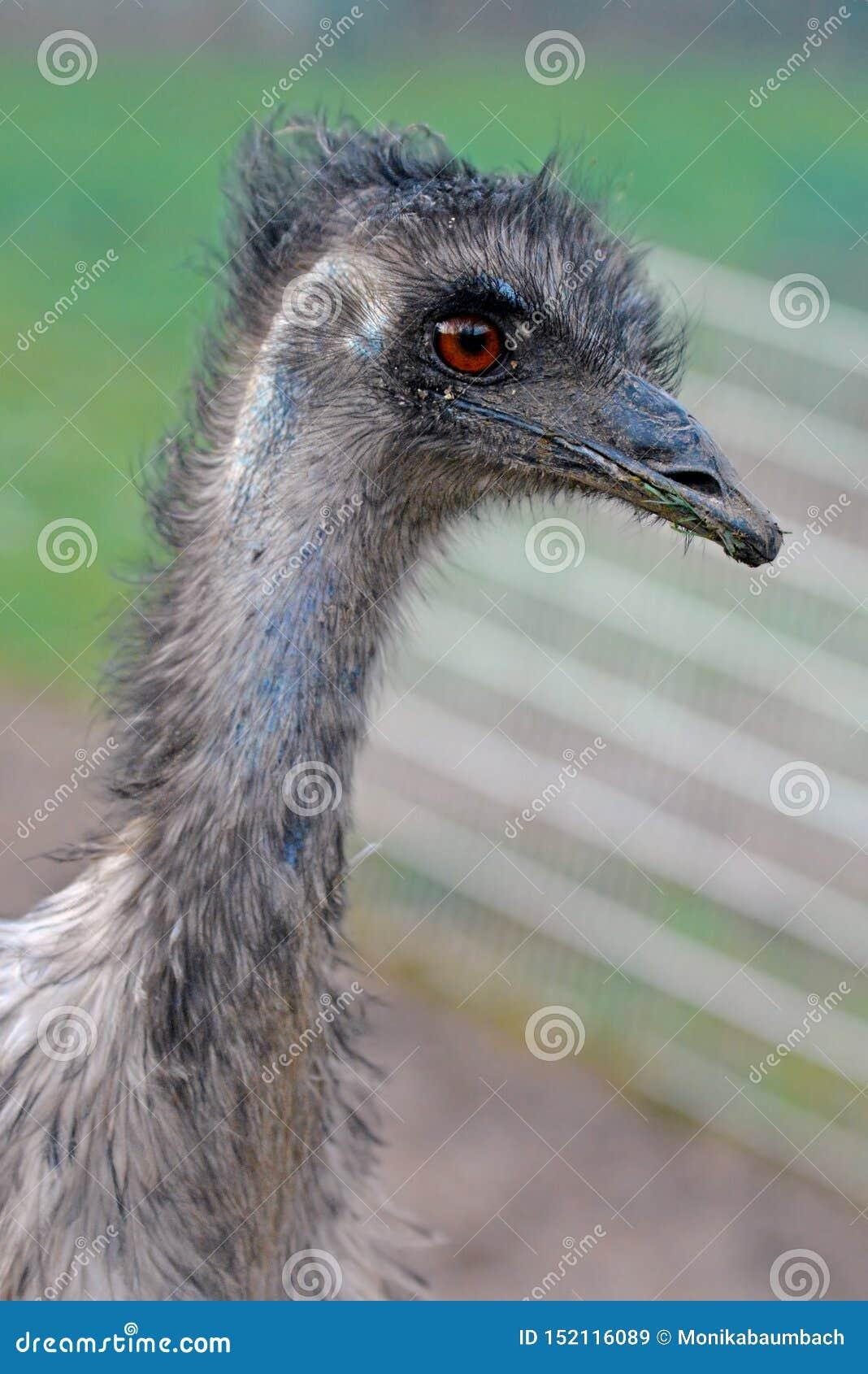 Sluit omhoog van Dromaius-de vogelhoofd van de novaehollandiaeemoe