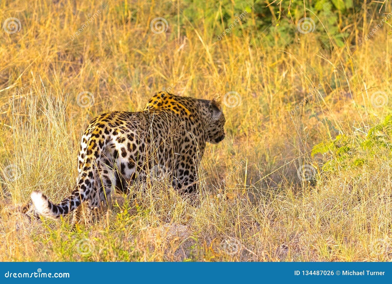 Sluit omhoog van een Afrikaanse Luipaard