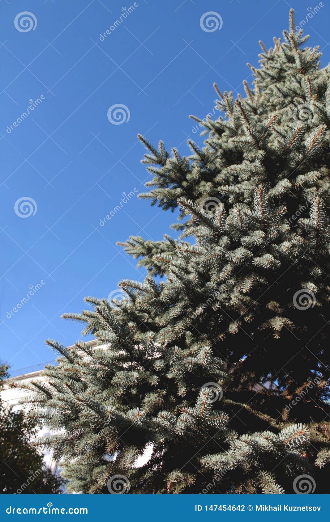 Sluit omhoog van een blauwe nette boom met blauwe hemel
