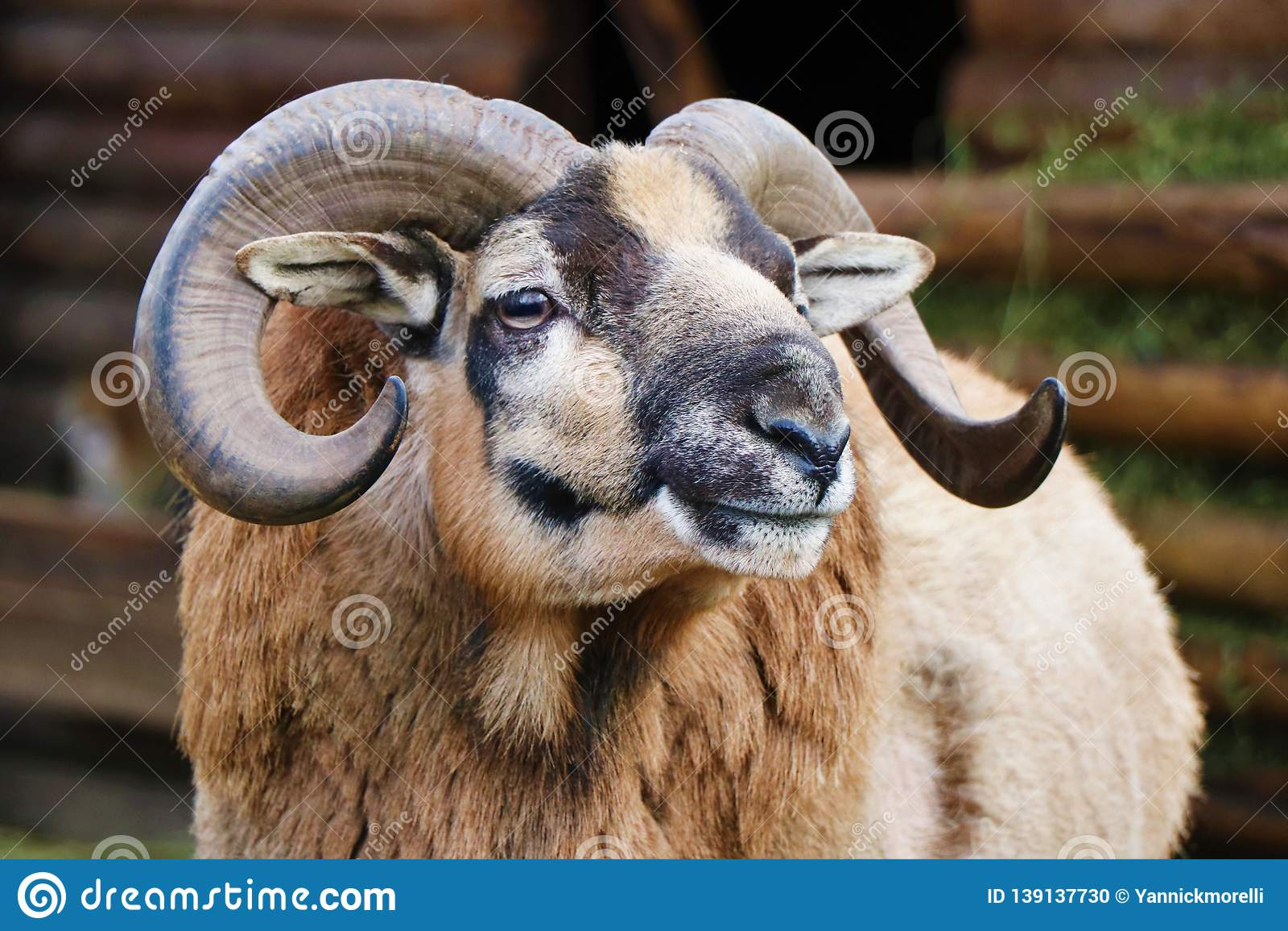 Sluit omhoog van een muflonhoofd met zijn hoornen