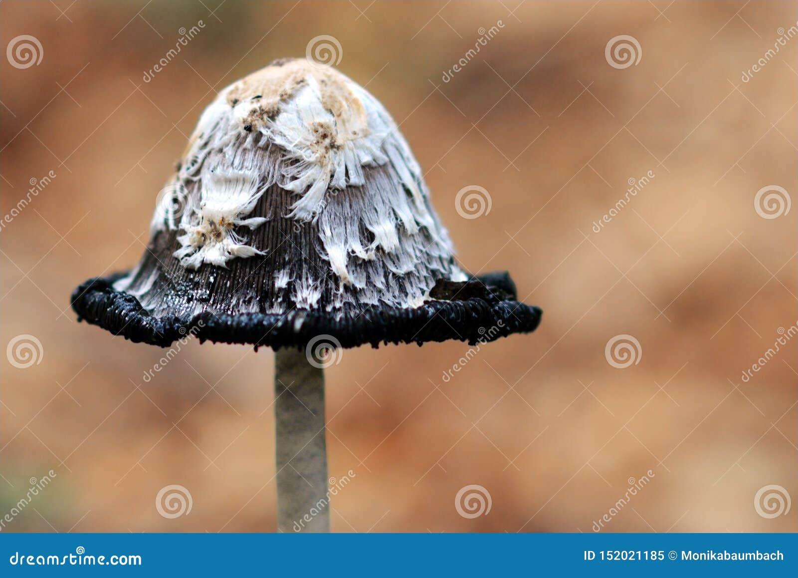 Sluit omhoog van een paddestoel van Schopftintling Coprinus Comatus Shaggy Ink Cap