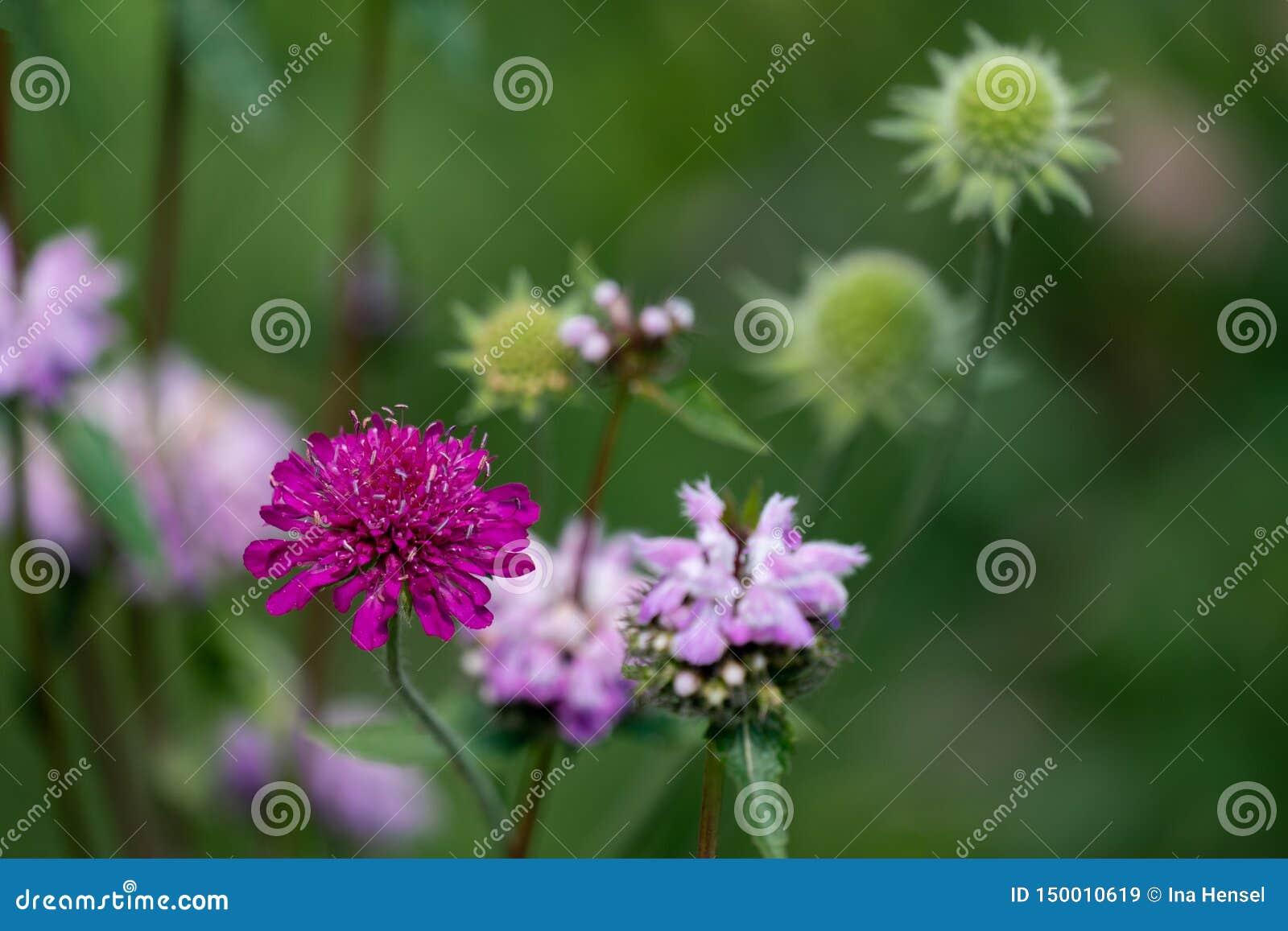 Sluit omhoog van een purpere scabiosa, een roze netelbloem en groene zaadballen op de achtergrond