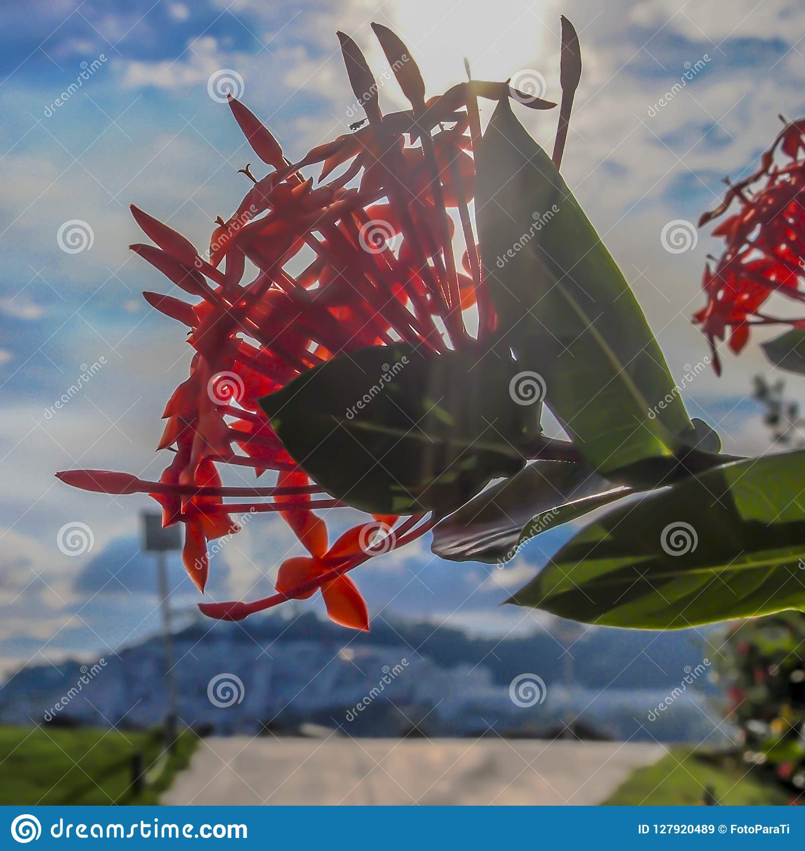 Sluit omhoog van een rode Geranium van de bloemwildernis op een boom met groene bladeren en een straal van zonneschijnachtergrond