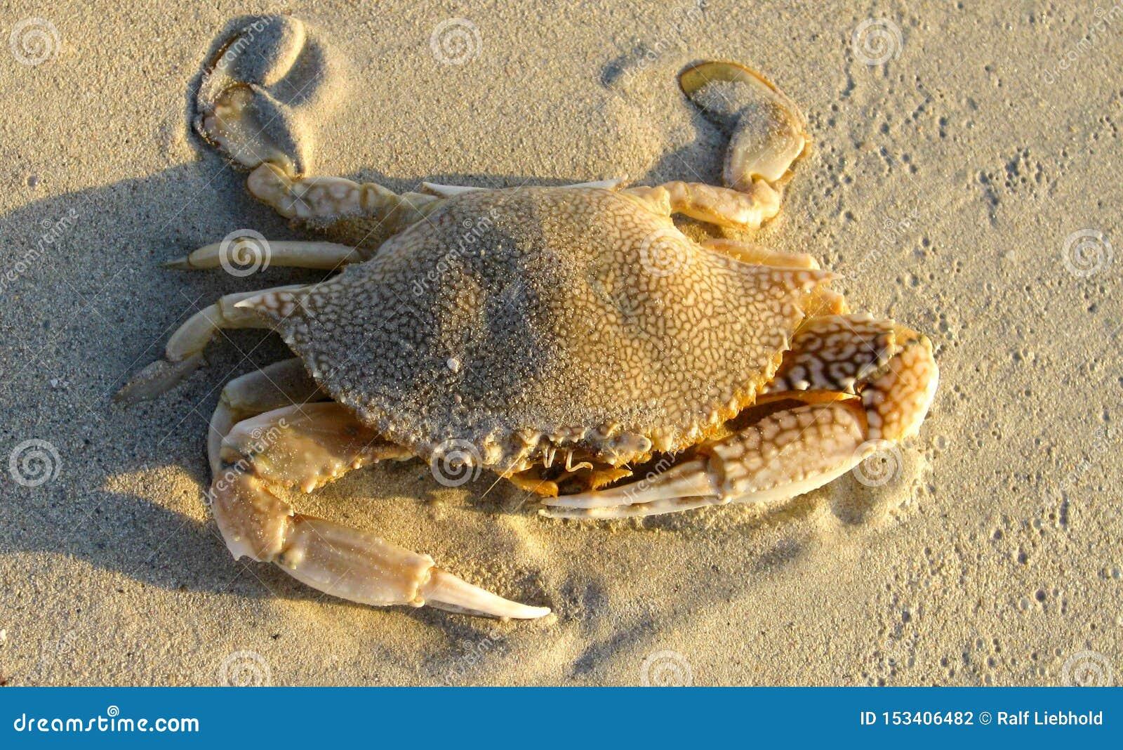 Sluit omhoog van geïsoleerde krab met indrukwekkende klauwen in het zand op Jamaïca
