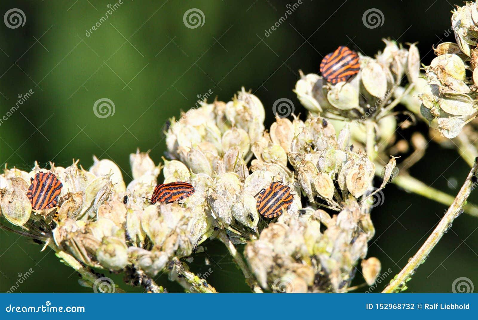 Sluit omhoog van geïsoleerde rode en zwarte gestreepte lineatum van de insectengraphosoma van het minstreelschild op een langzaam