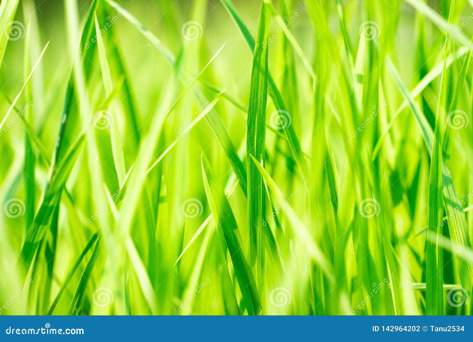 Sluit omhoog van geelgroen padieveld