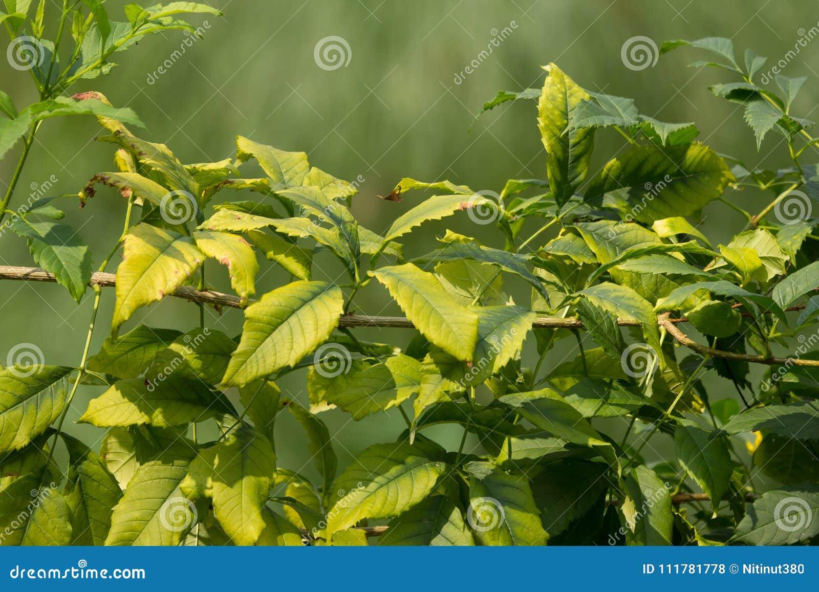 Sluit omhoog van Groen Blad van Gele oudere bloem