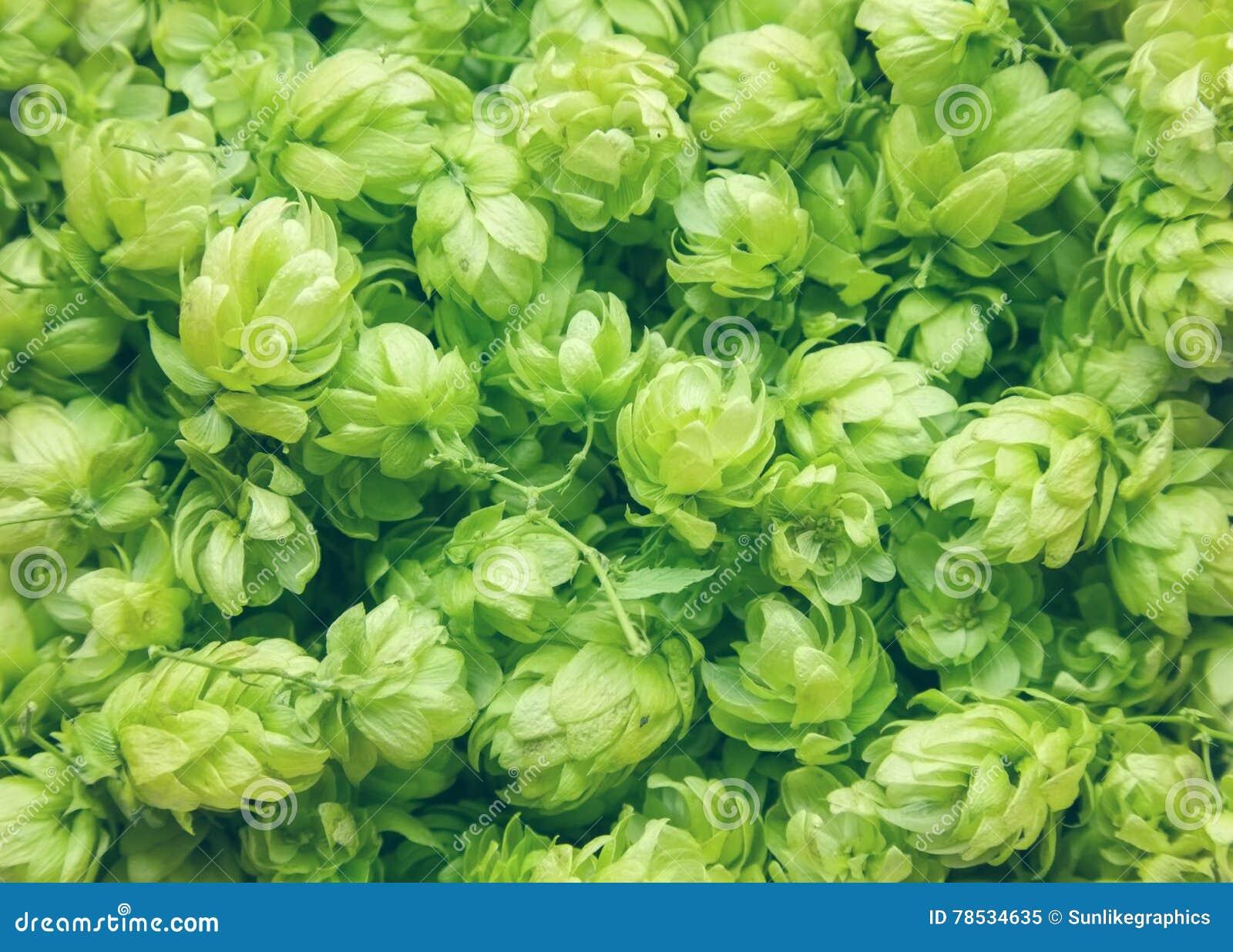 Sluit omhoog van groene rijpe hopkegels De achtergrond van de aard Het ingrediënt van de bierproductie Mening van hierboven van e